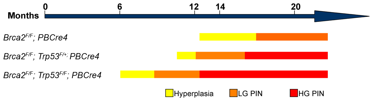 Schematic showing the progression of prostate neoplasia in <i>Brca2</i> and <i>Brca2;Trp53</i> mutant animals.
