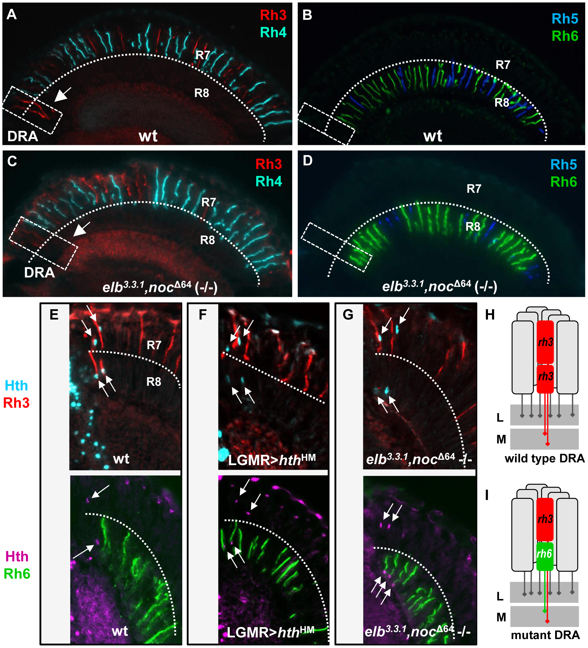 The opsin phenotype of <i>elb,noc</i> double mutants is restricted to DRA ommatidia.