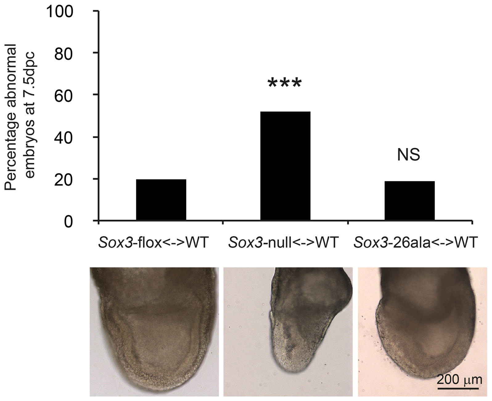 Residual nuclear SOX3-26ala protein rescues a gastrulation defect of <i>Sox3</i>-null &lt;-&gt; WT chimeric embryos.