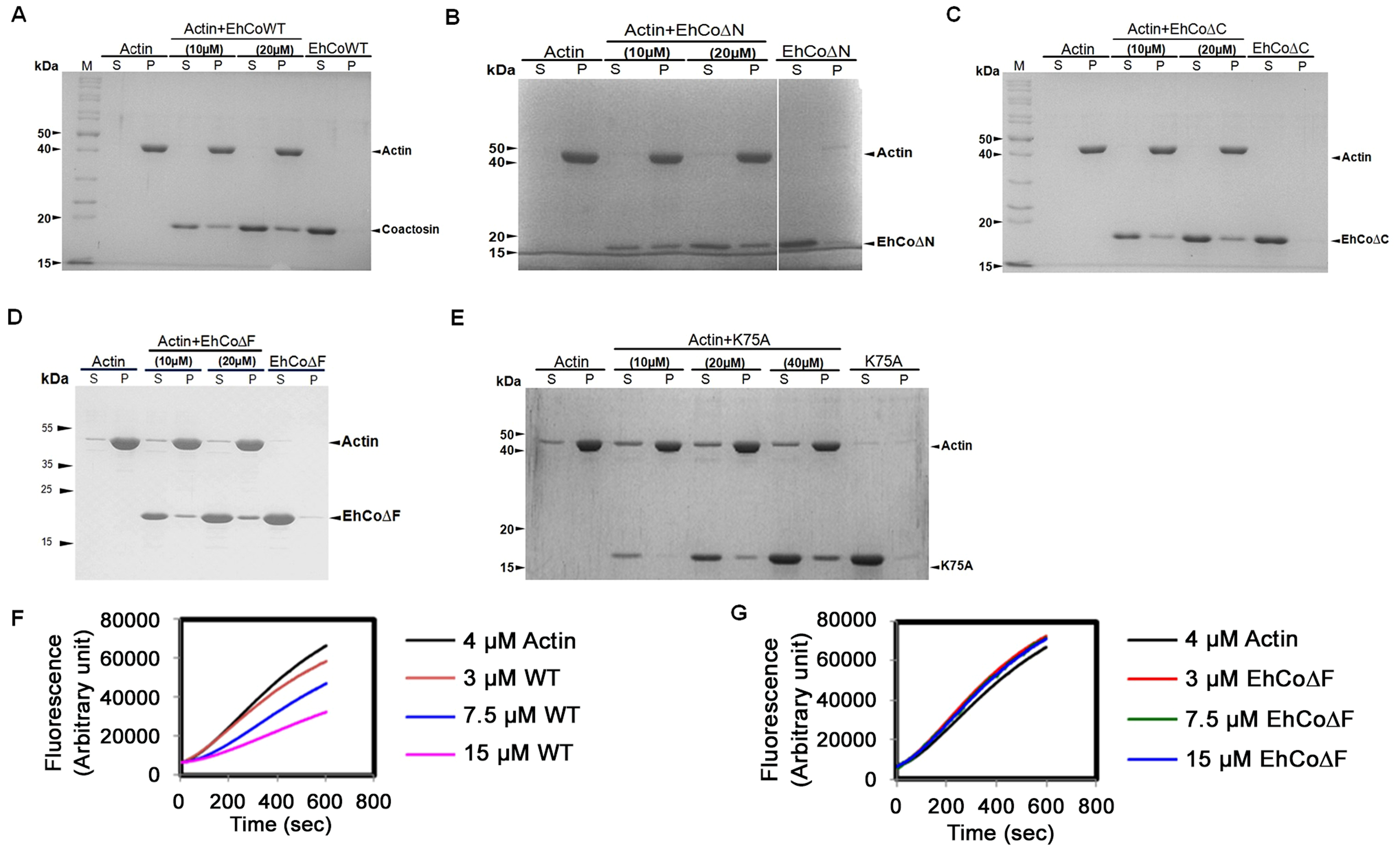 Binding of wild-type and mutant EhCoactosin proteins to F-actin by co-sedimentation.