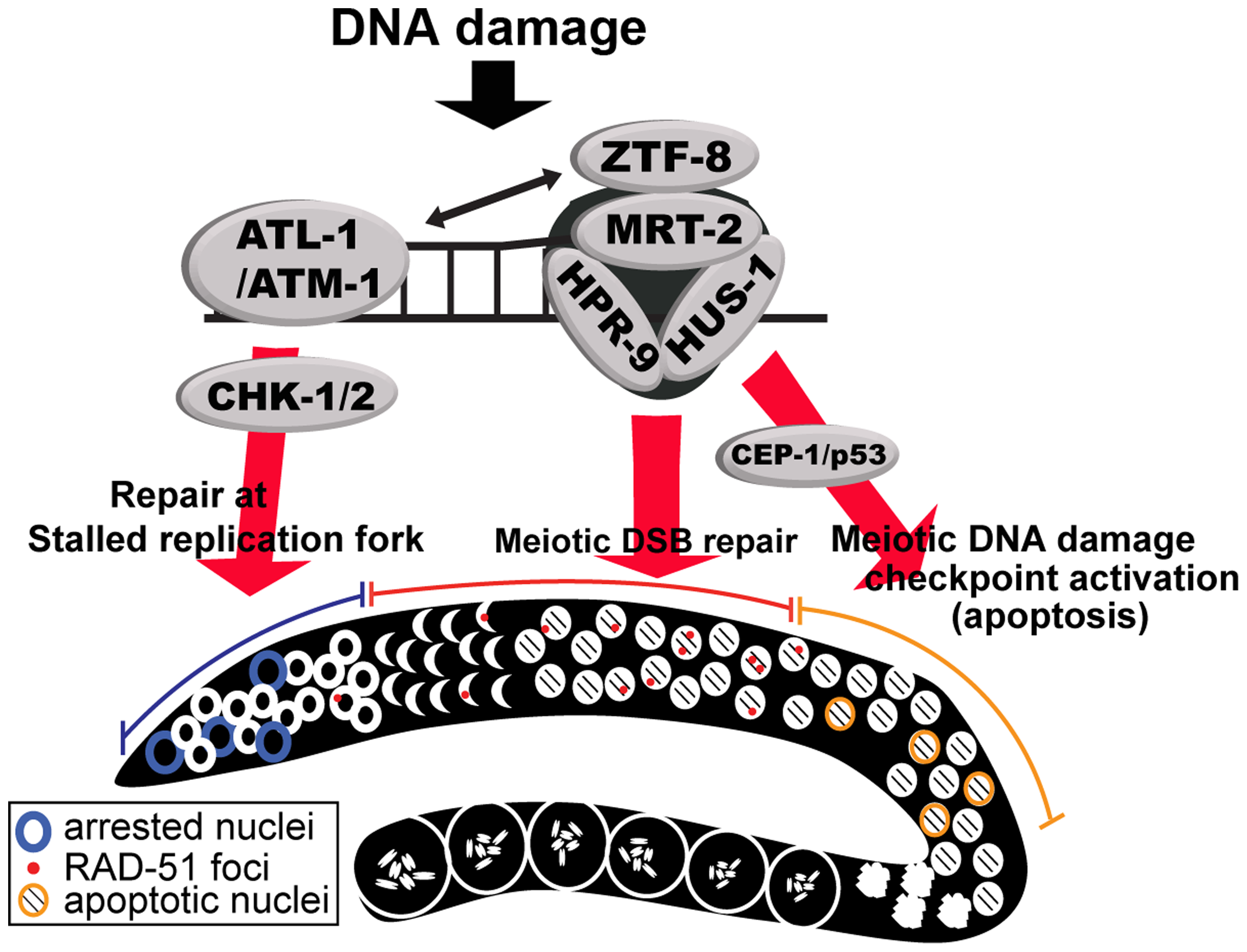 Model for the role of ZTF-8 in DNA damage response and repair.