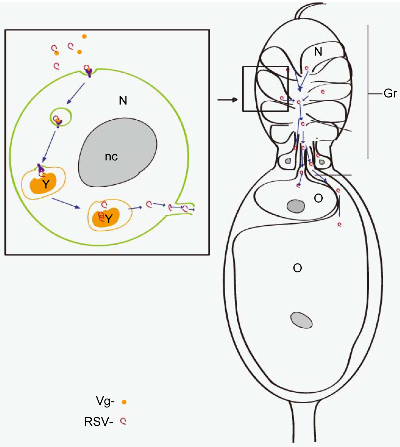 Model of RSV transovarial transmission.