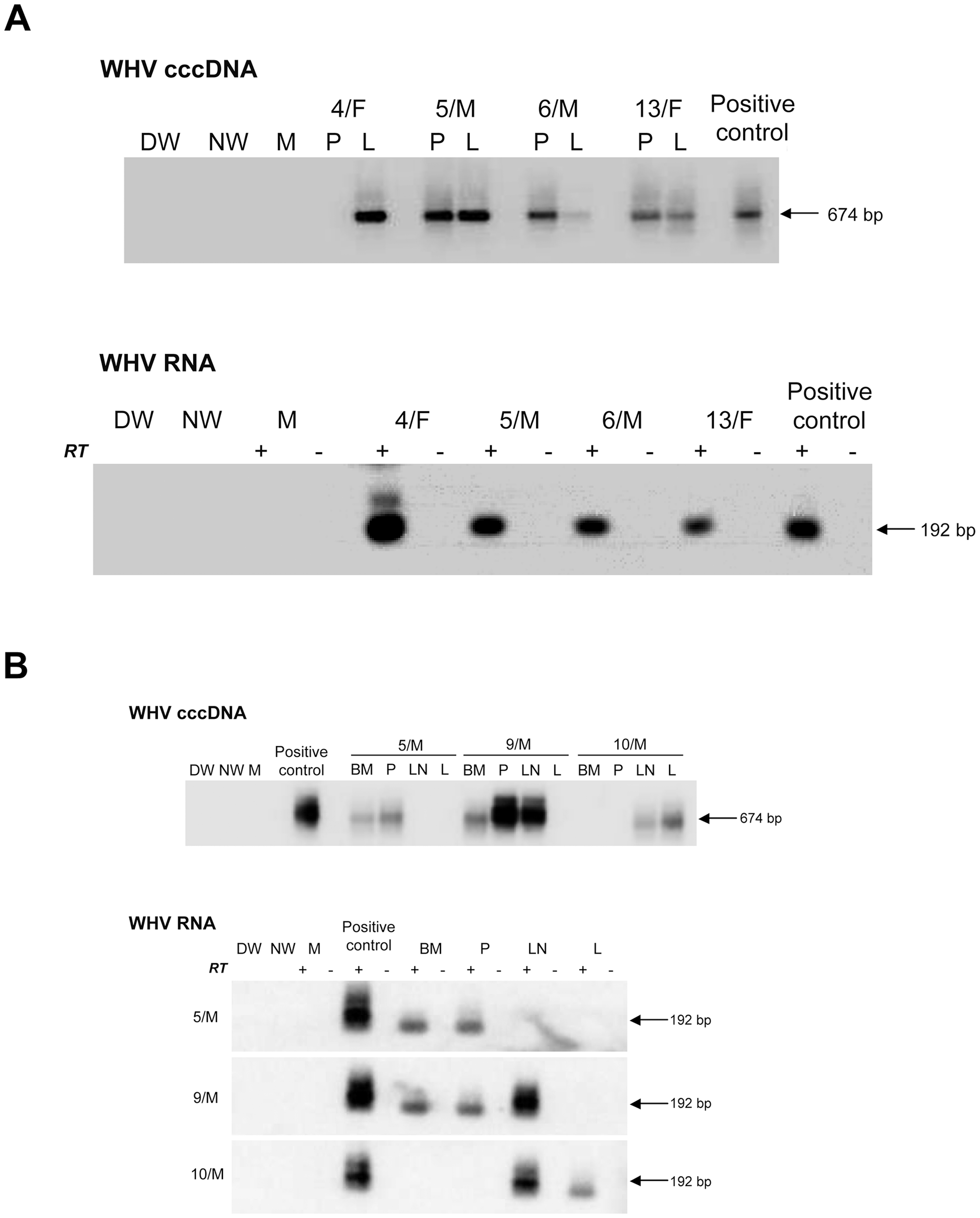 Detection of WHV cccDNA and RNA in liver and lymphoid cell and tissue samples obtained from woodchucks with lifelong POI established after inoculation with 100 virions of WHV/tm3.