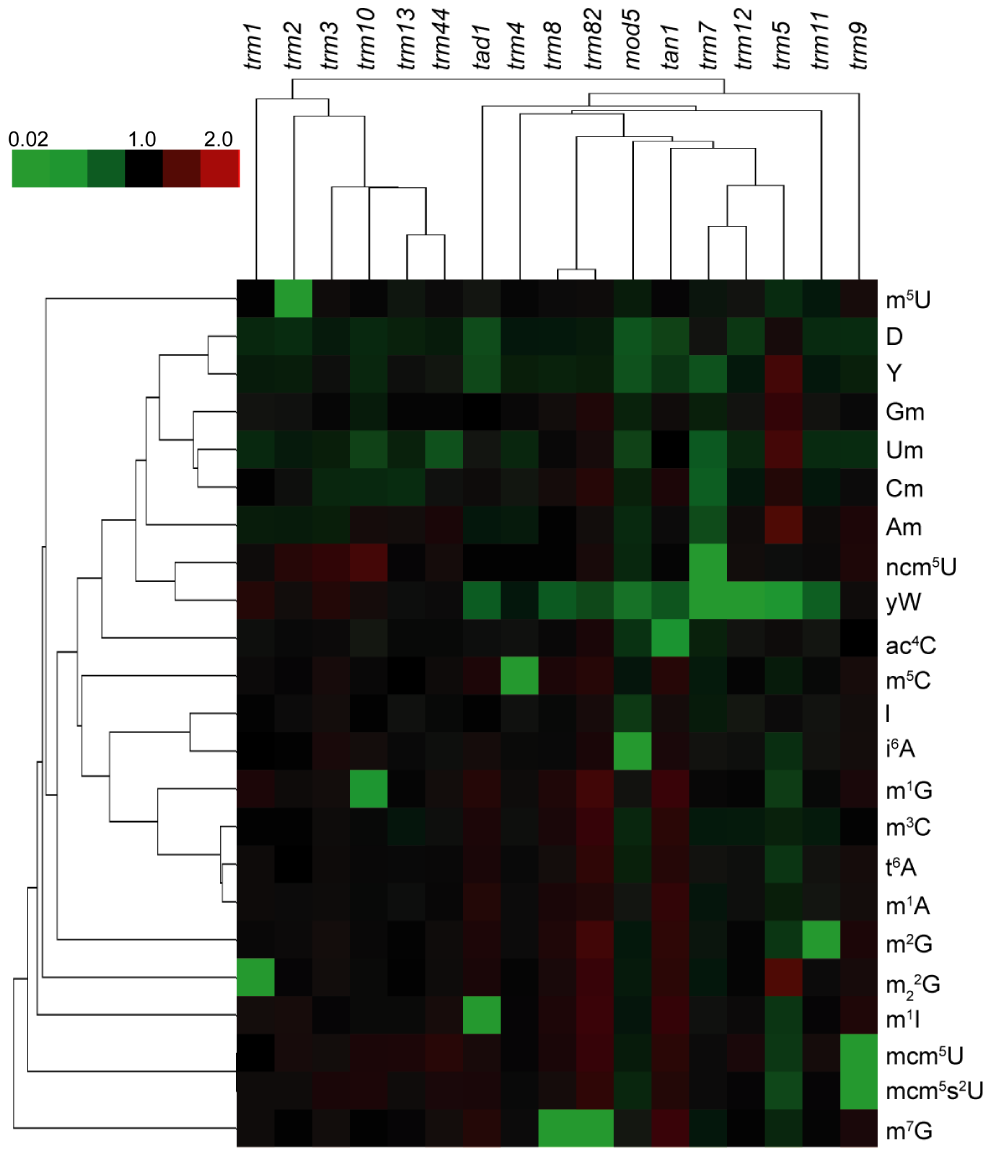 Cluster analysis visualization of changes in the relative levels of tRNA ribonucleoside modifications in mutants lacking ribonucleoside-modifying enzymes.