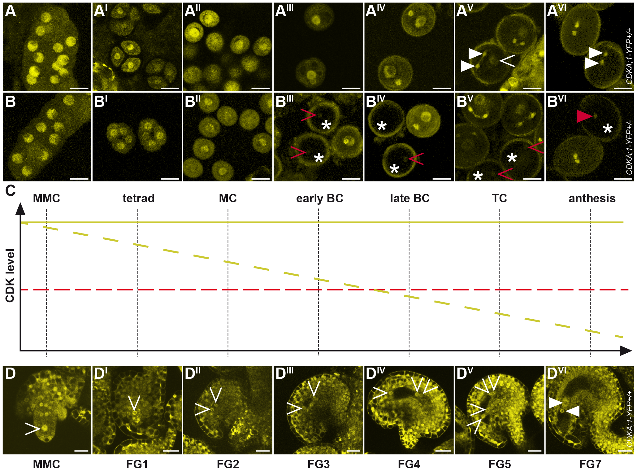 Accumulation and localization of CDKA;1-YFP fusion protein during female and male gametophyte development.