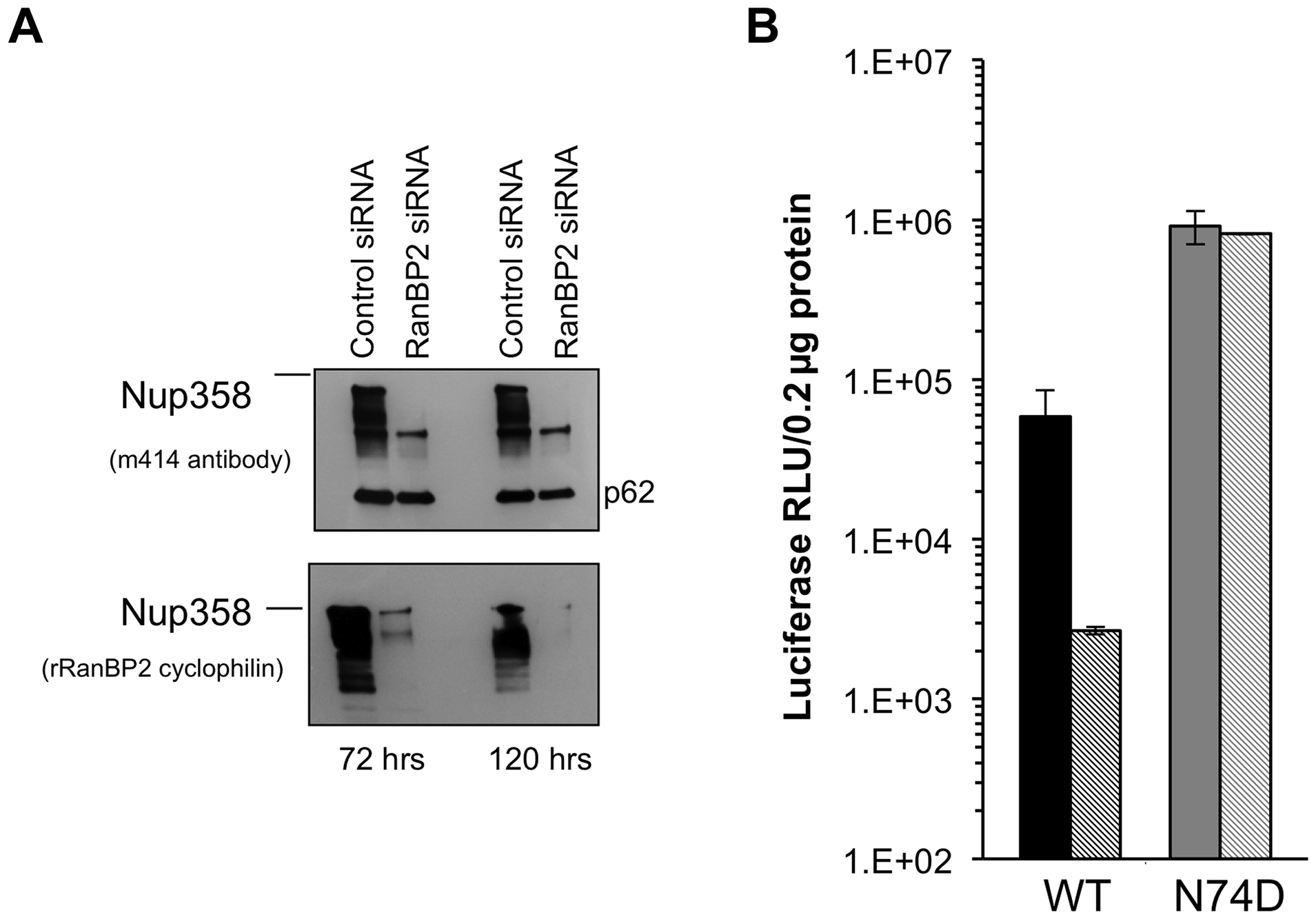 Acute depletion of Nup358 in Hela cells.