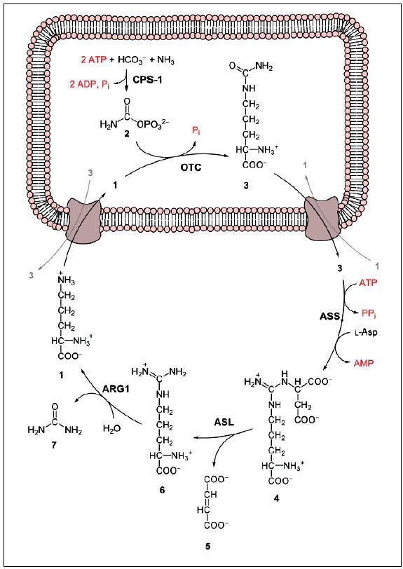 Obr. 1 Cyklus močoviny; 1 – ornithin, 2 – karbamoylfosfát, 3 – citrulin, 4 – argininosukcinát, 5 – fumarát, 6 – arginin, 7 – močovina, L-Asp – L-aspartát, CPS-1 – karbamoylfosfátsyntetáza, OTC – ornitinkarbamoyltransferáza, ASS – argininsukcinátsyntetáza, ASL – argininsukcináza, ARG1 – argináza. Zdroj: http://upload.wikimedia.org/wikipedia/commons/b/be/Urea_cycle.svg