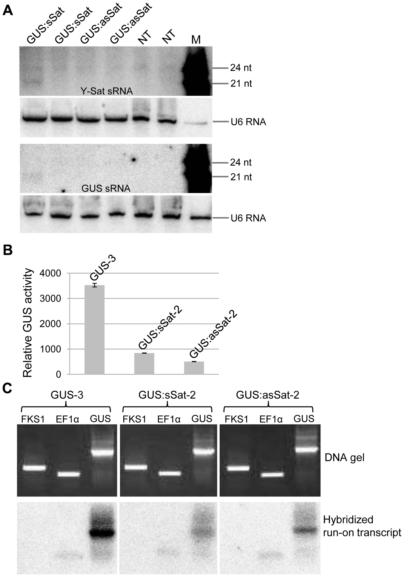 The 35S-GUS:Sat transgene is transcriptionally repressed.