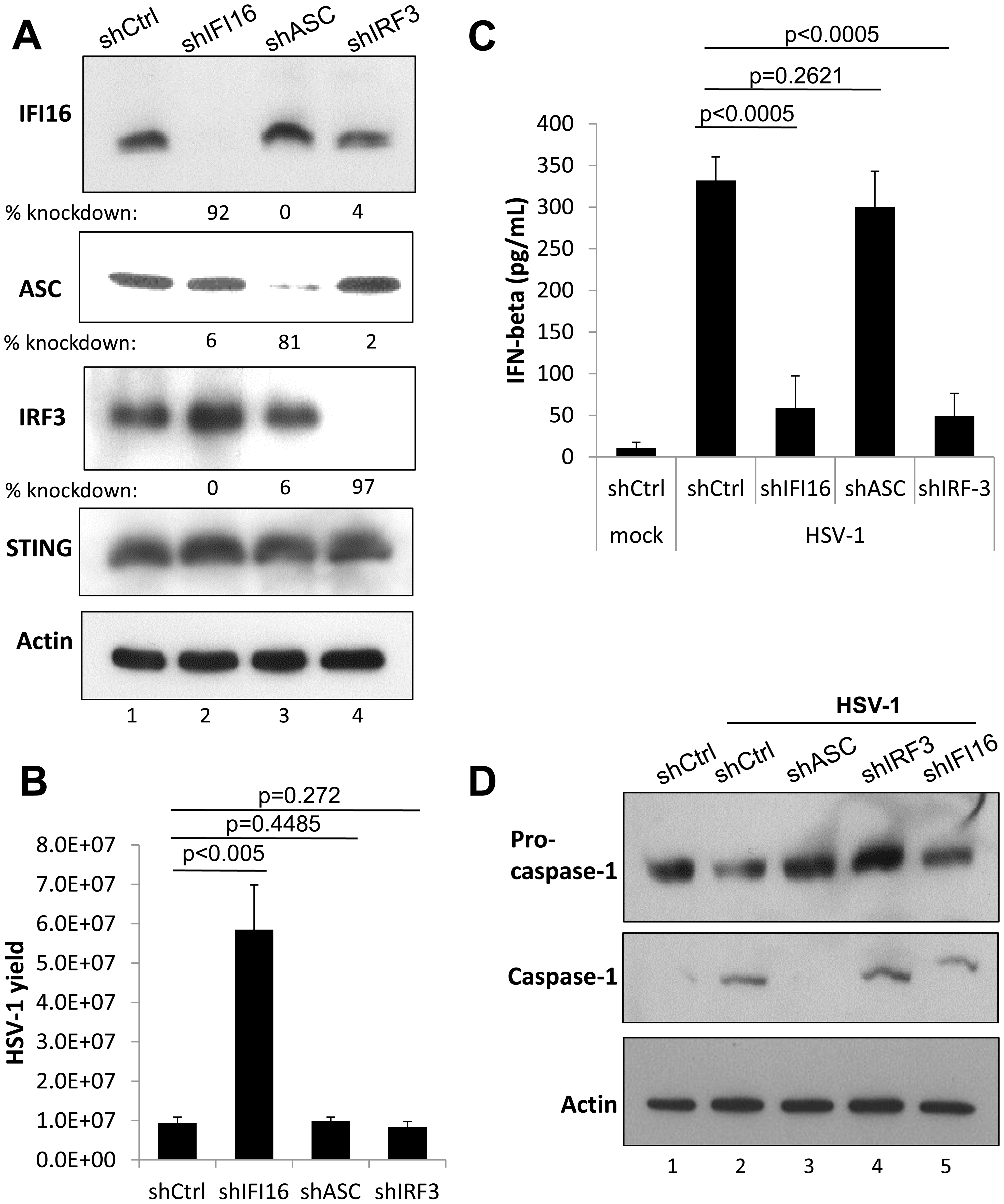 Effect of IFI16, ASC, and IRF3 knockdown on HSV-1 replication.