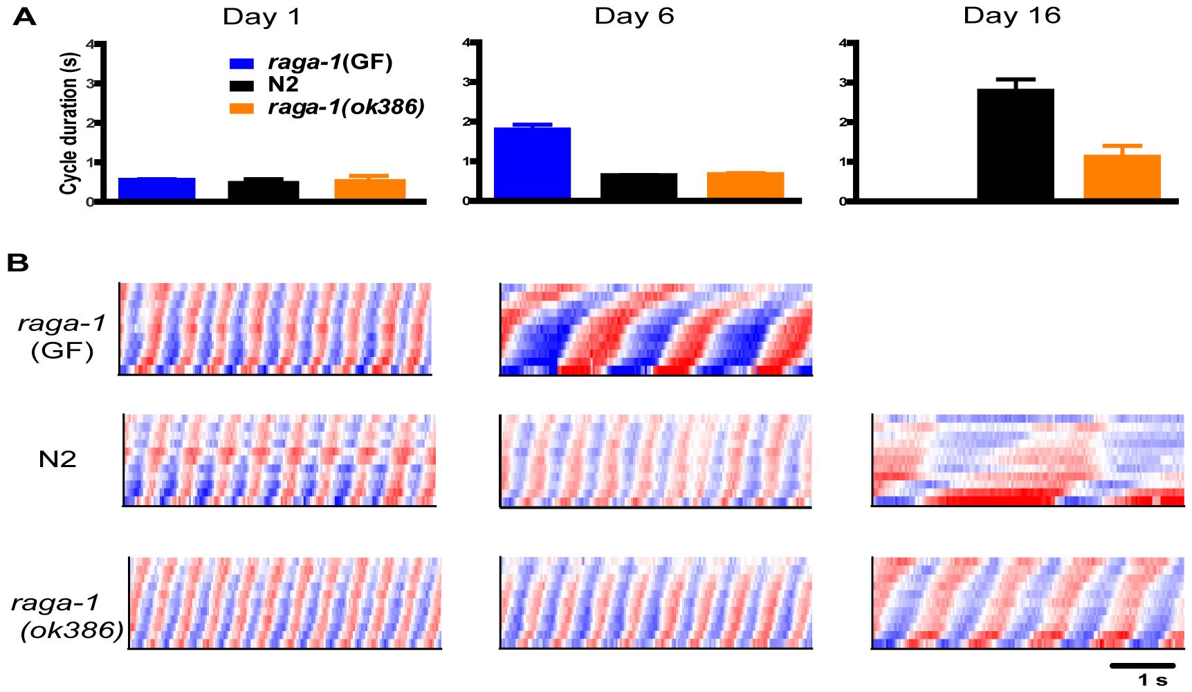 Comparison of swimming in aging <i>raga-1(ok386)</i>, transgenic <i>raga-1</i>(GF), and wild-type animals.