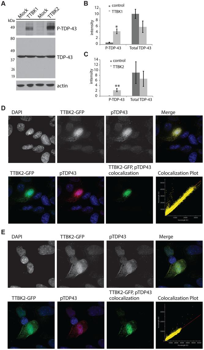 Tau tubulin kinase activation promotes TDP-43 phosphorylation and recruitment into cytoplasmic inclusions.