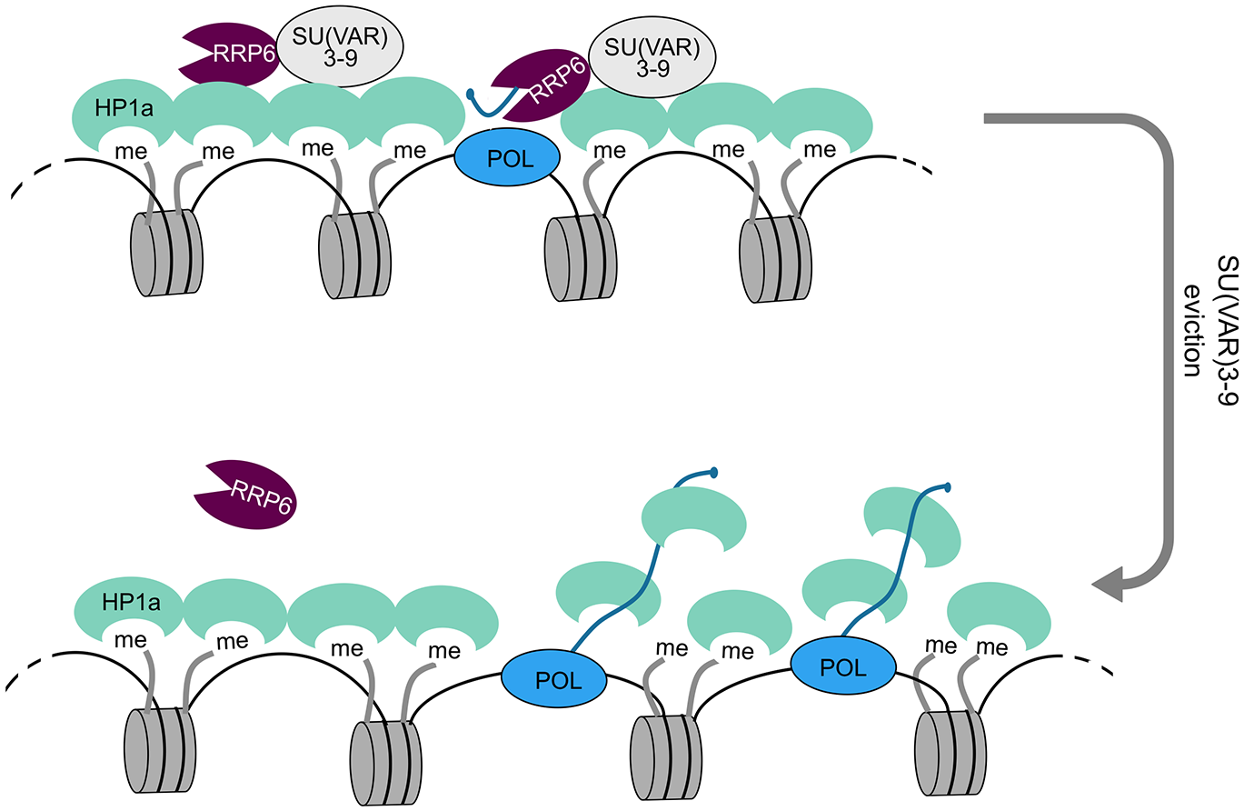 A model for the role of RRP6 in the maintenance of heterochromatin packaging.