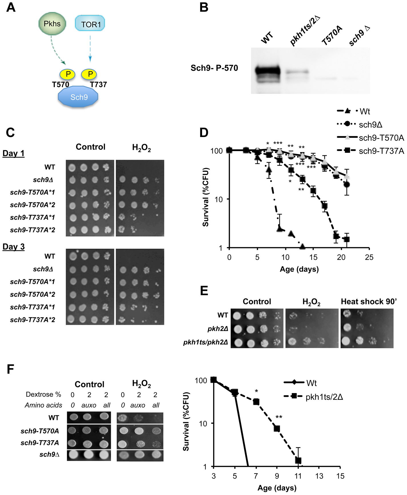 Role of Sch9 activation state in survival, stress resistance and amino acids response.