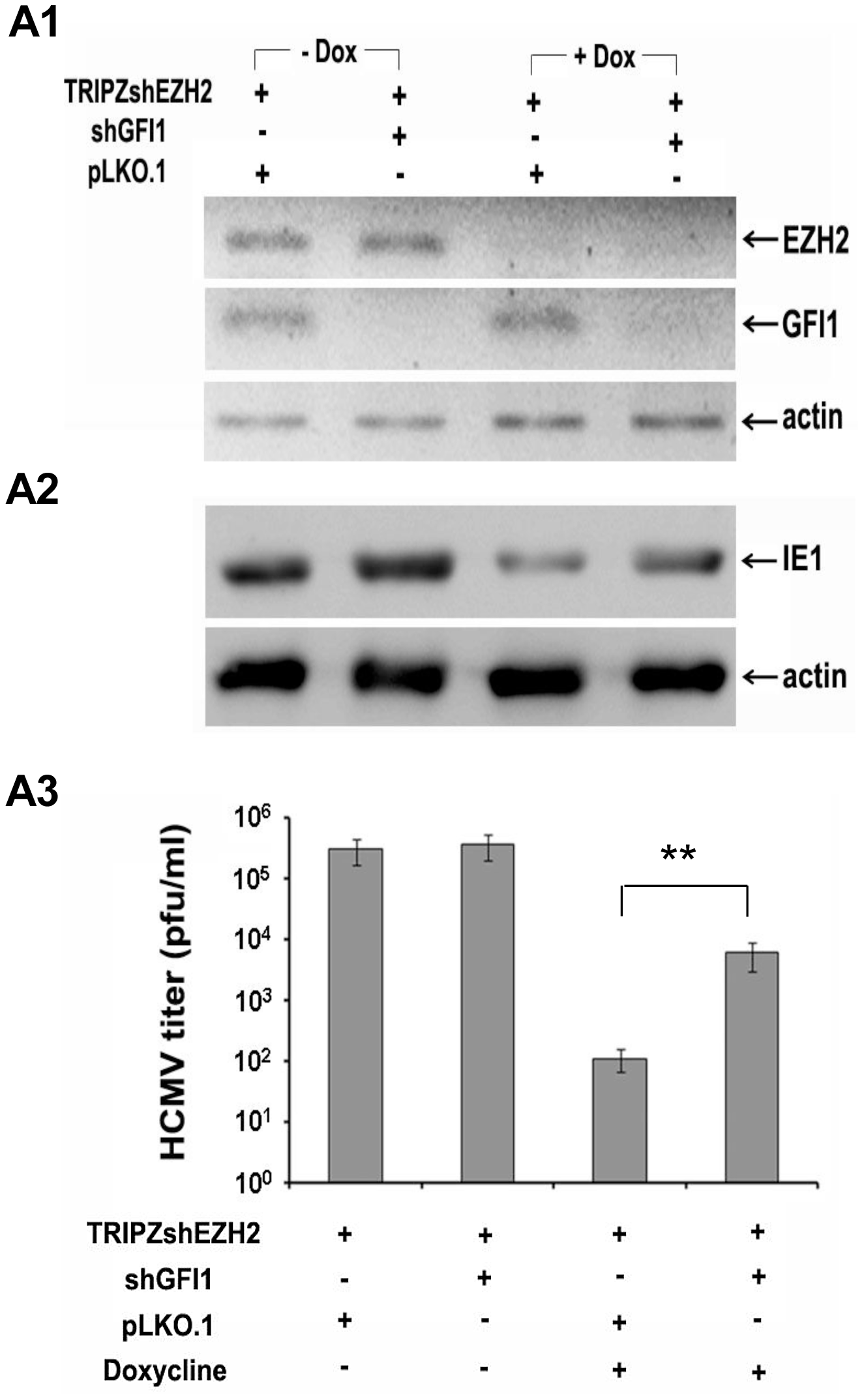 The knockdown of GFI1 partially rescues the ability of HCMV to infect HFF cells in which EZH2 was knocked down.