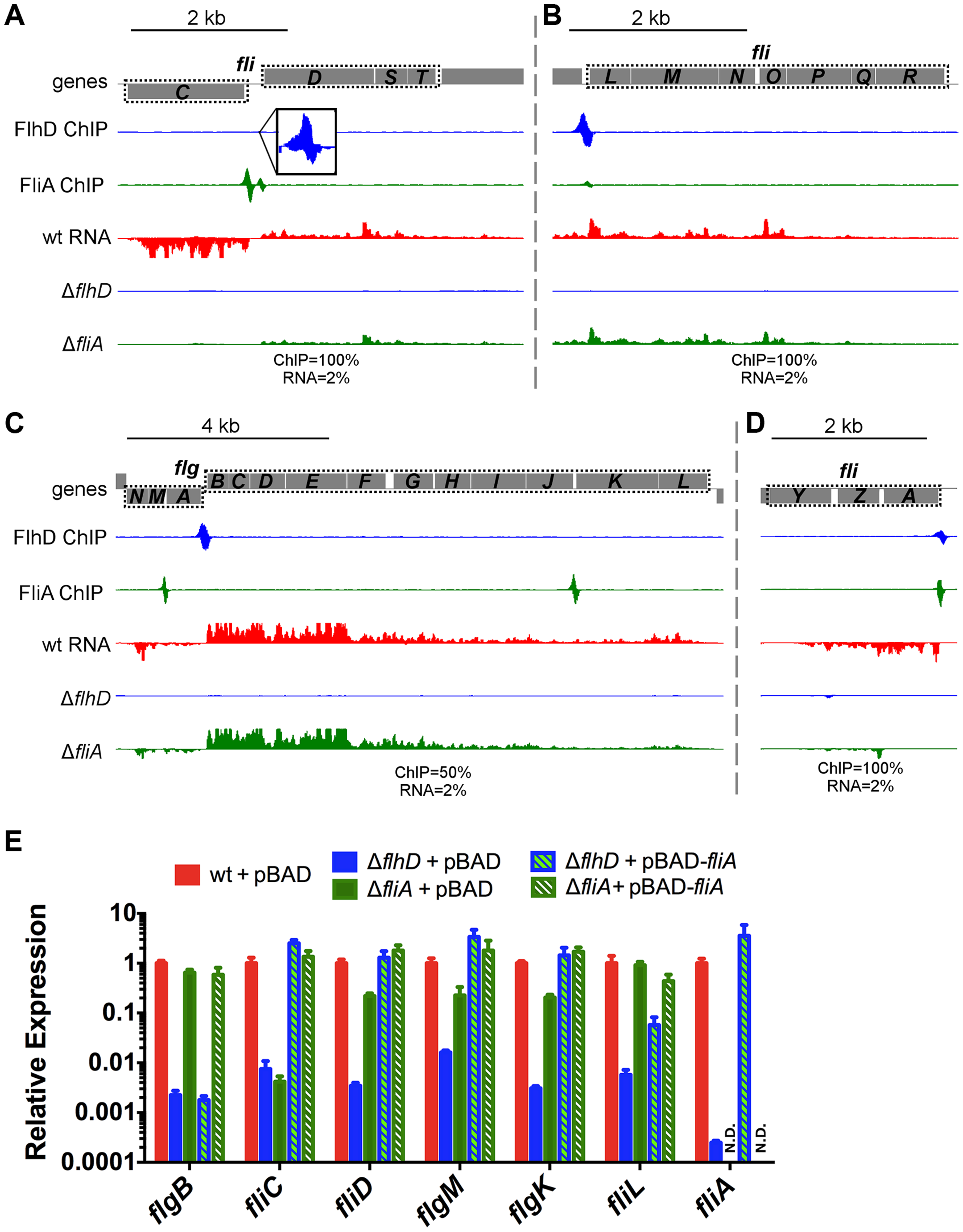 FlhDC and FliA binding and regulation at dual regulated targets.