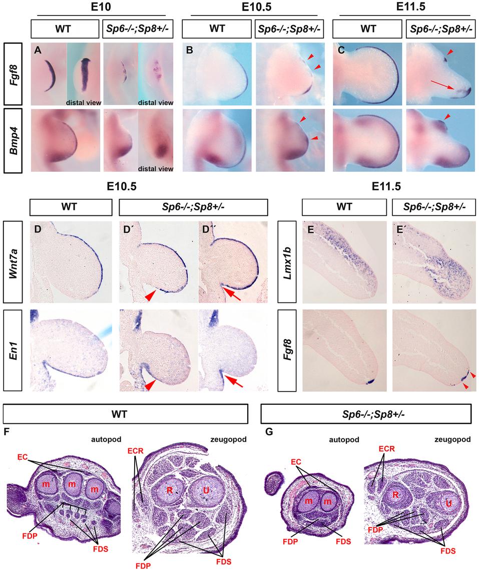Molecular and morphological analysis of <i>Sp6−/−;Sp8+/−</i> mutant limb buds.