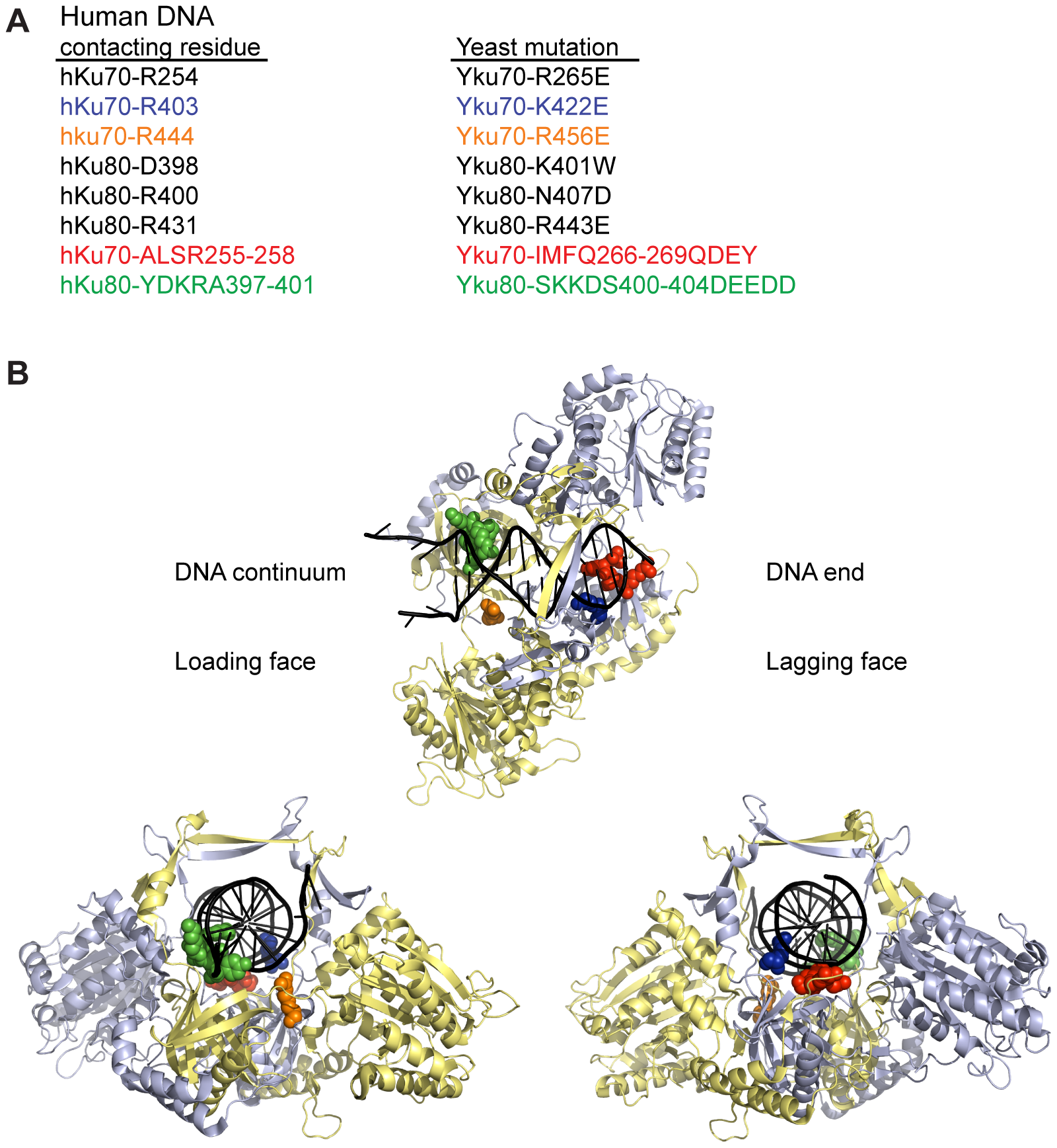 Positions of human Ku DNA contacting residues targeted in yeast Ku.