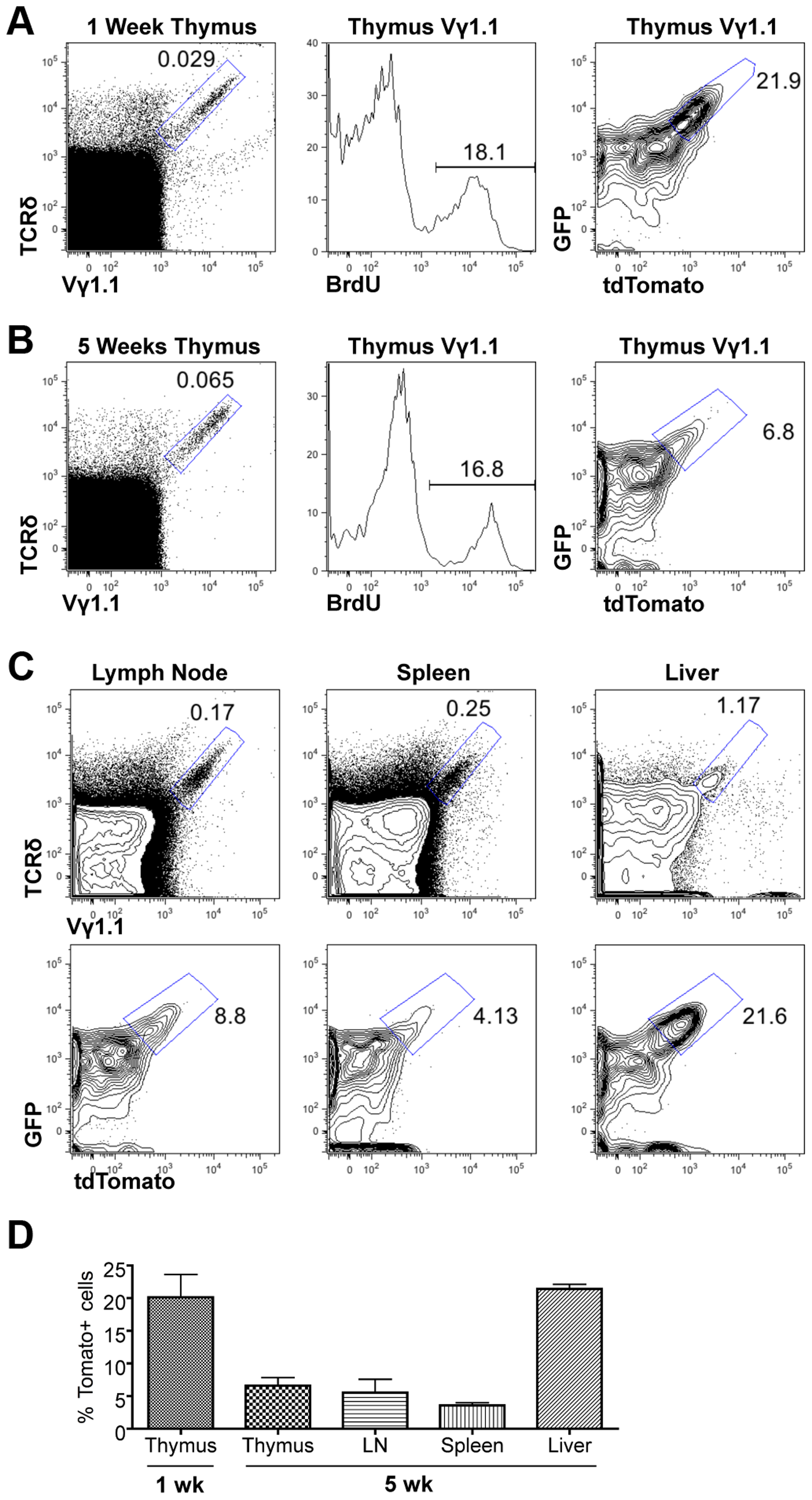 Assessing proliferation frequency and history of Vγ1.1 T cells.