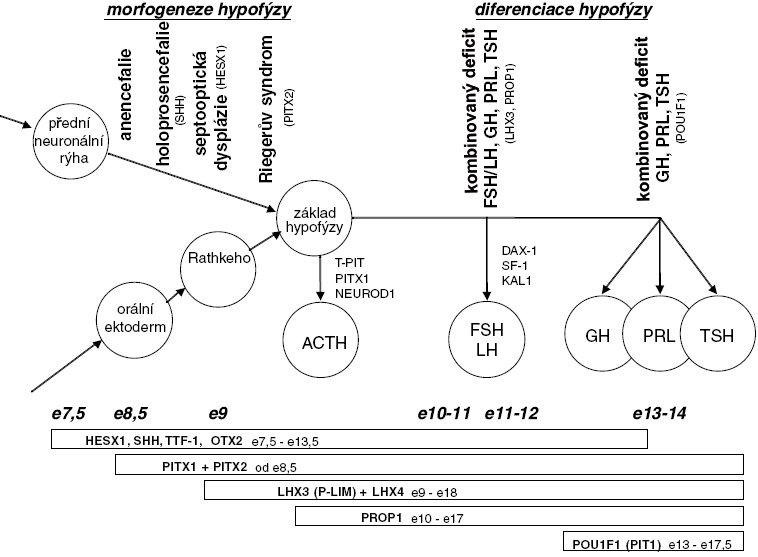 Signální molekuly a transkripční faktory zapojené v embryonálním vývoji hypofýzy. Schéma ukazuje expresi jednotlivých regulačních molekul v průběhu embyogeneze, příslušné vývojové fáze hypofýzy a středočárových mozkových struktur a vznik specializovaných buněčných linií adenohypofýzy. (Upraveno dle [8]). Vysvětlivky:  e – embryonální den vývoje myši; ACTH – kortikotropní buňky (produkce ACTH); FSH/LH – gonadotropní buňky (produkce gonadotropinů); GH – somatotropní buňky (produkce růstového hormonu); PRL – laktotropní buňky (produkce prolaktinu);TSH – tyreotropní buňky (produkce TSH); jednotlivé regulační molekuly jsou podrobněji popsány v textu.