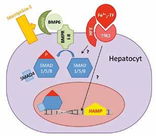 Schéma řízení exprese HAMP genu v hepatocytech. BMP6 po vazbě na BMP receptor (BMPR I-II) a membránový hemojuvelin (mHJV) stimuluje SMAD signální dráhu a expresi hepcidinu. Matriptáza-2 brání nadměrné expresi hepcidinu tím, že štěpí mHJV a vypíná tak BMP6/SMAD signální dráhu. Zvýšená hladina holotransferinu (Fe<sup>3+</sup><sub>2</sub>TF) stabilizuje transferinový receptor 2 (TfR<sub>2</sub>) a v komplexu s HFE zvyšuje expresi HAMP. Detaily přenosu tohoto signálu nejsou známé (v obrázku označené otazníkem).