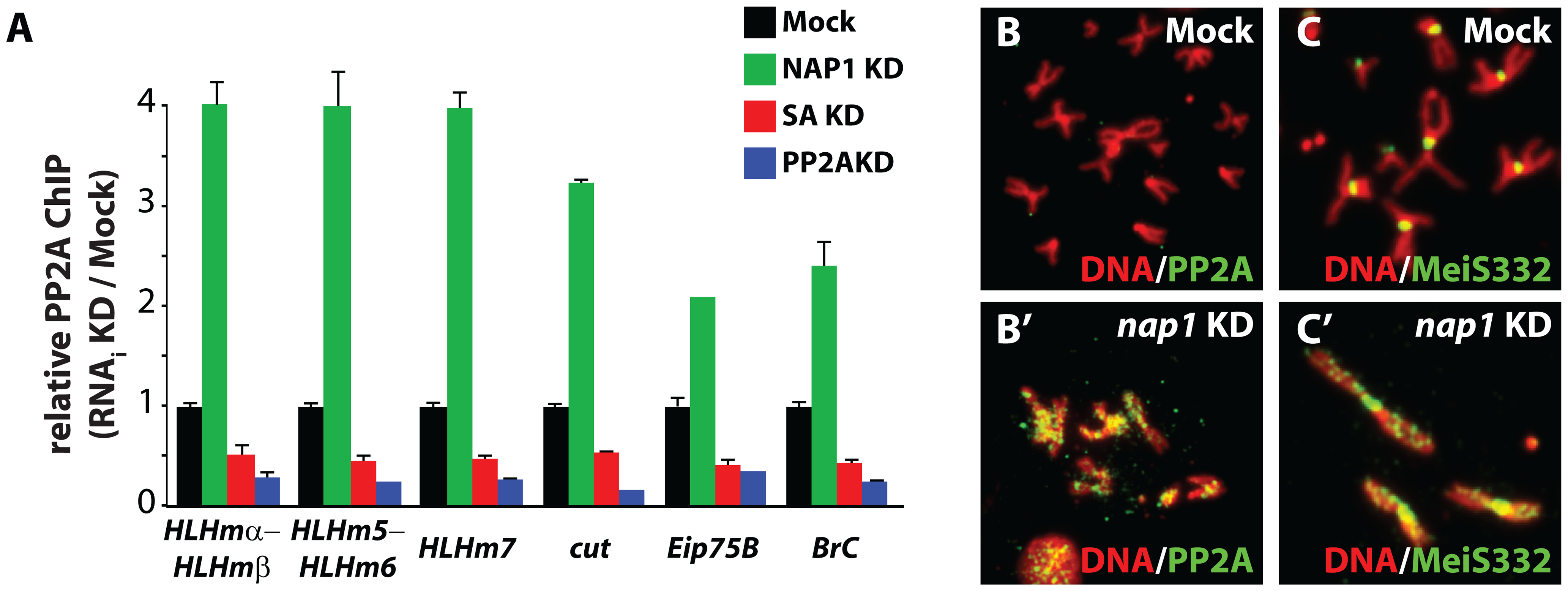 NAP1 counteracts PP2A association with chromatin.