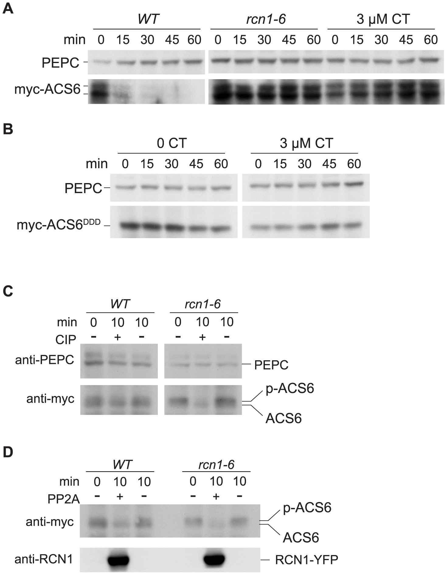 PP2A inhibition stabilizes ACS6 protein.