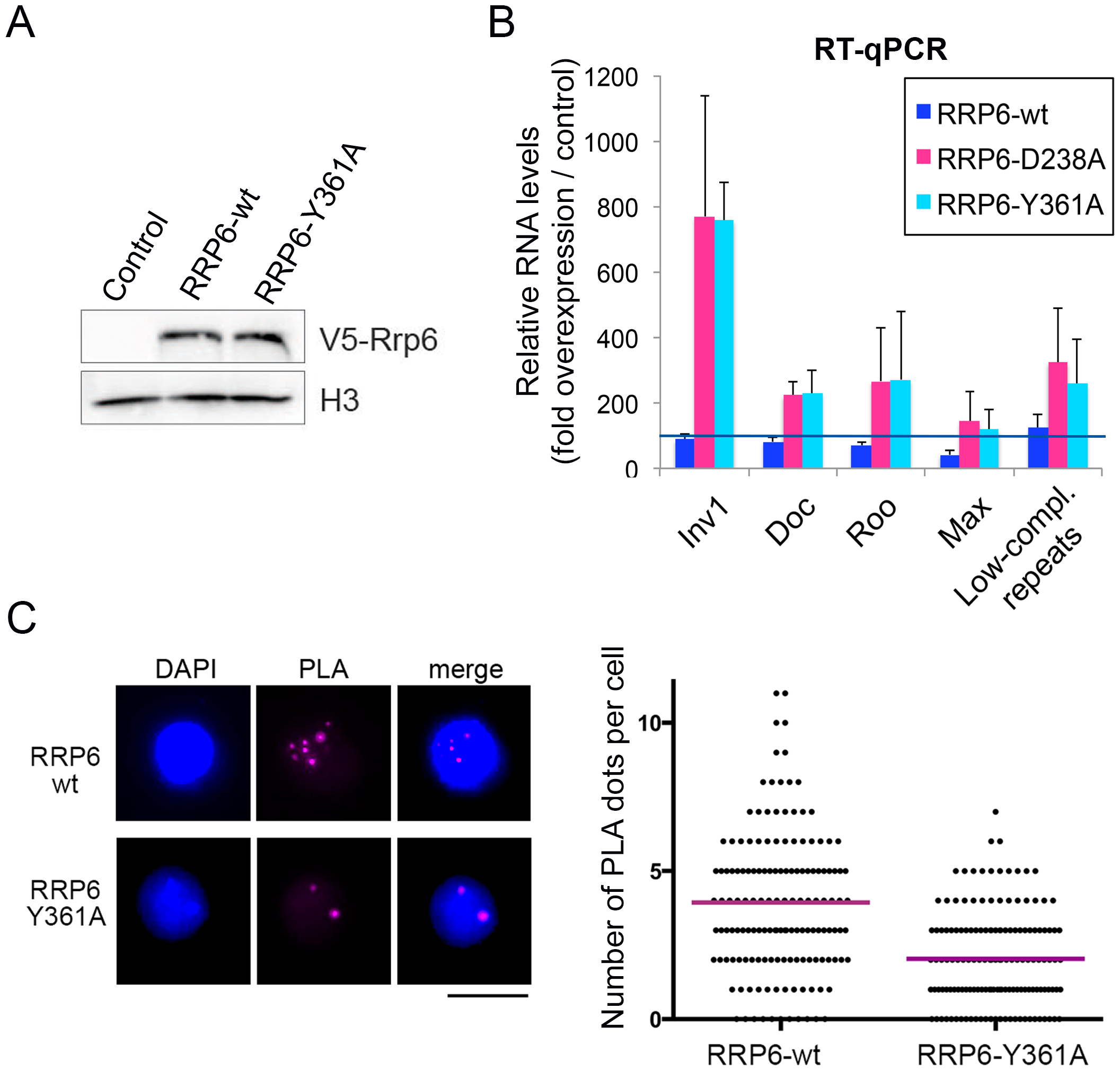 The catalytic activity of RRP6 is required for the silencing of transposon transcripts and for the maintenance of heterochromatin compaction.