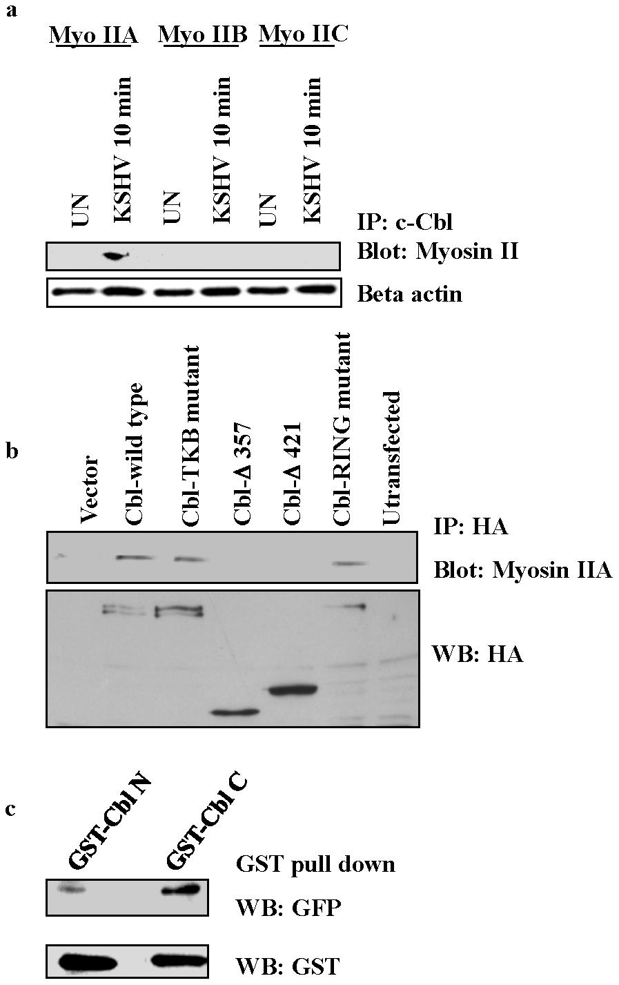 c-Cbl associates with myosin IIA in KSHV infected cells.