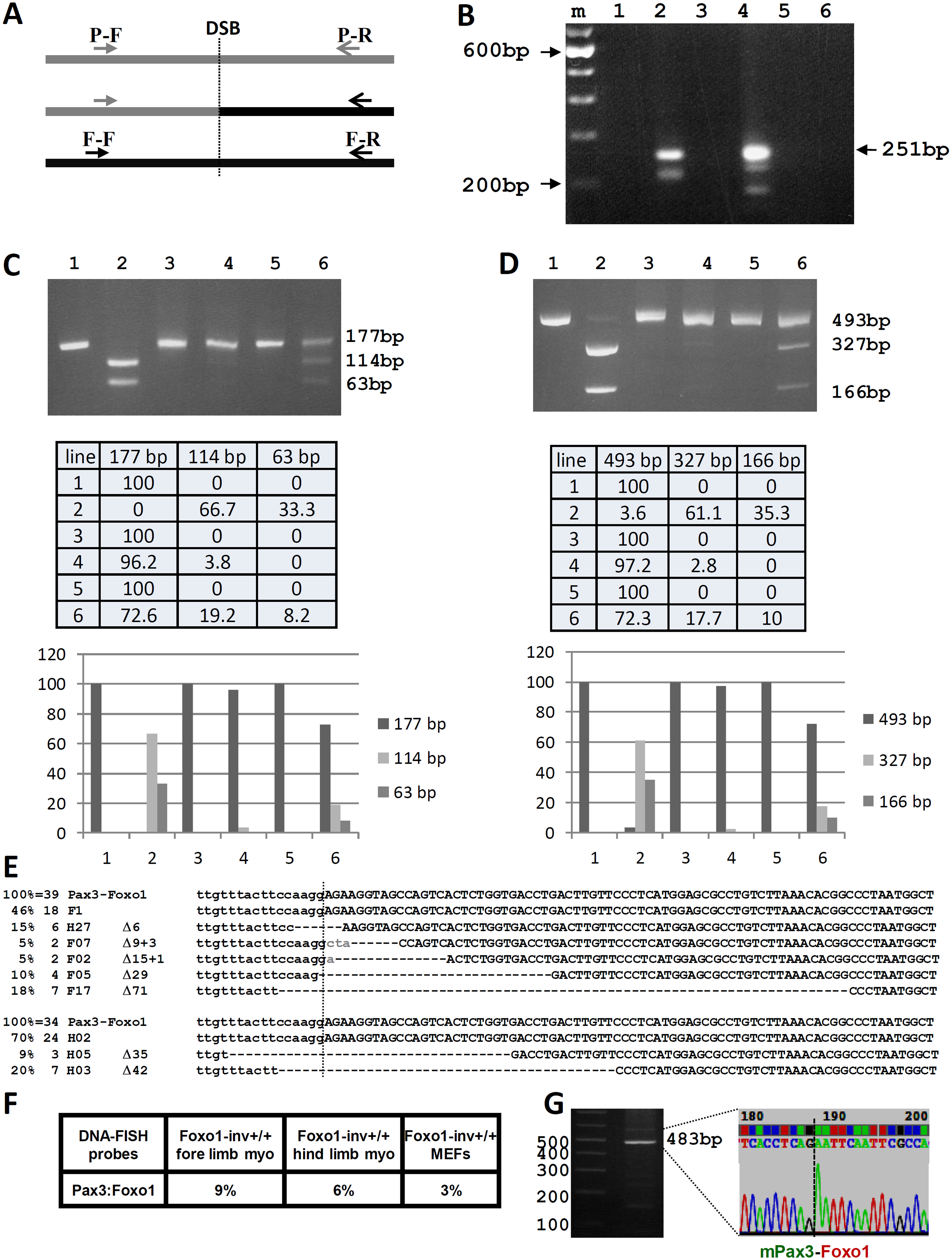 Analysis of the CRISPR-Cas9 induced t(1;3) in Foxo1-inv<sup>+/+</sup> myoblasts.
