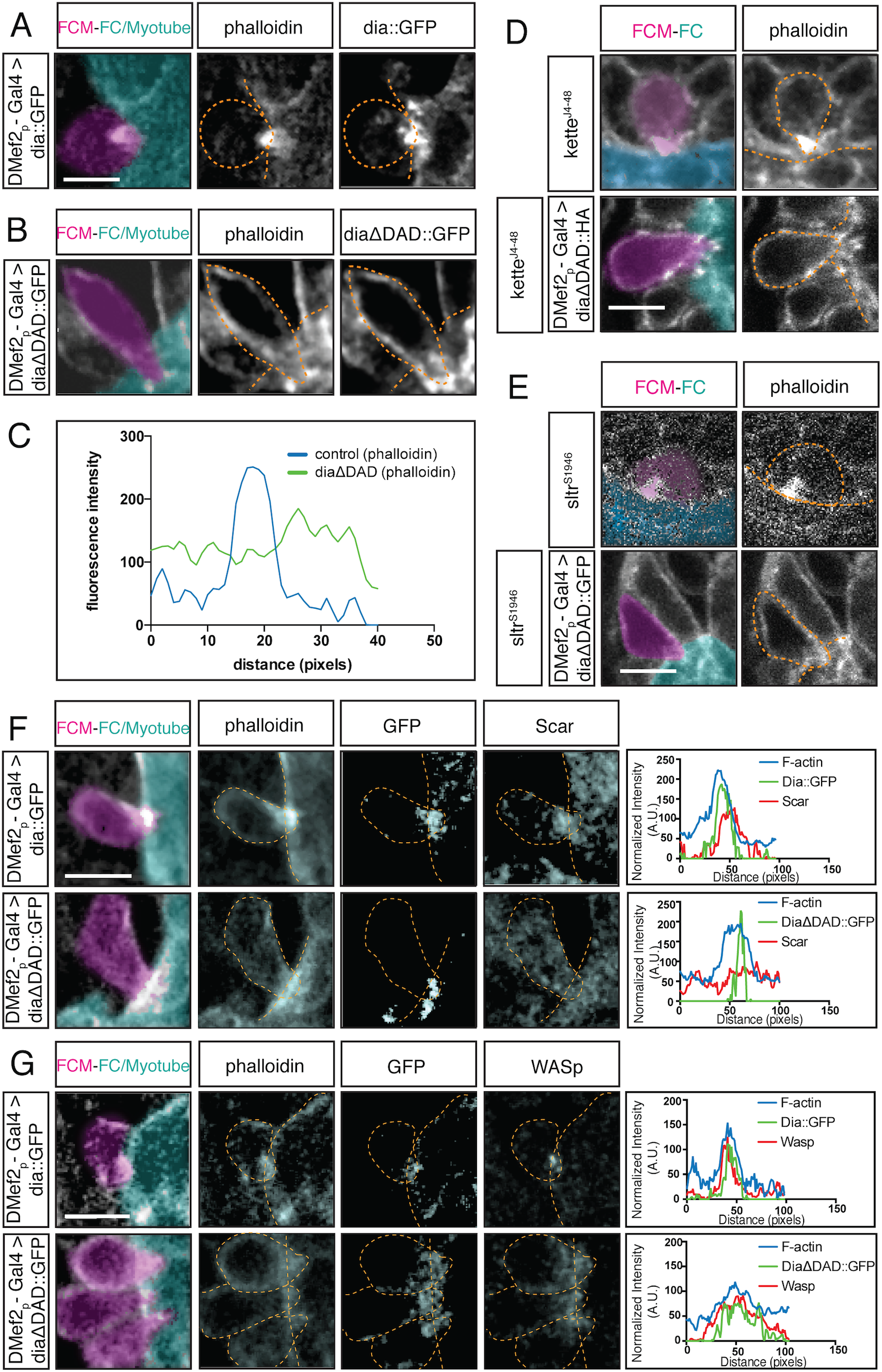 Constitutively active Dia alters the F-actin structure at the fusion site and regulates localization of Arp2/3 regulators.