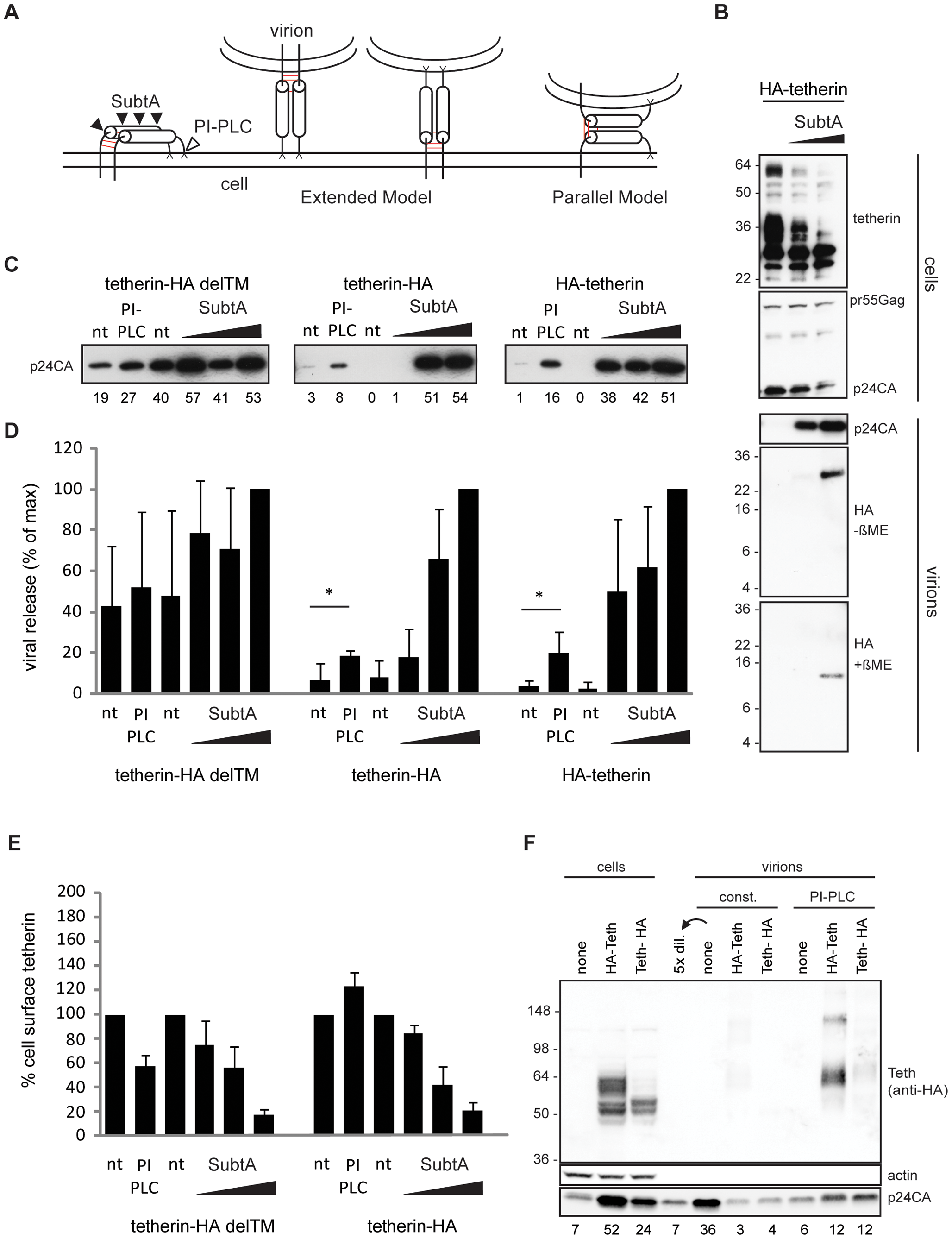 Tetherin restricts HIV-1 release as extended dimers.