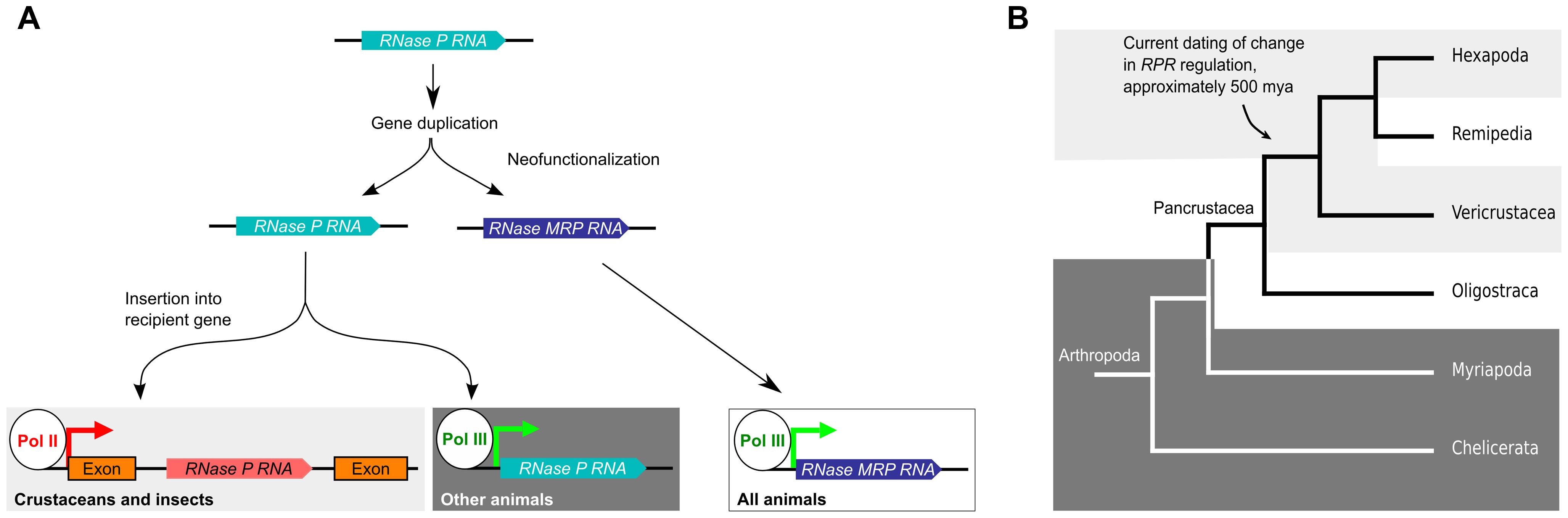 Model for the evolutionary history of <i>RPR</i>.