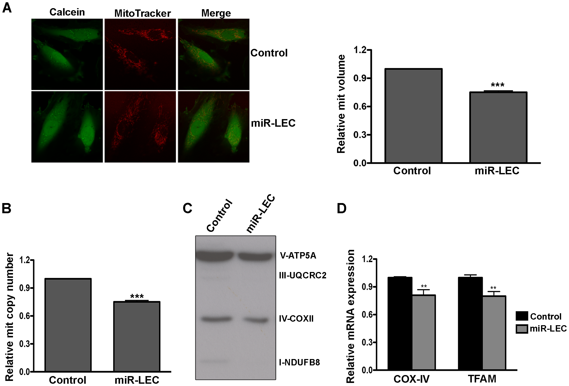 Expression of the KSHV miRNA cluster reduces mitochondrial biogenesis.