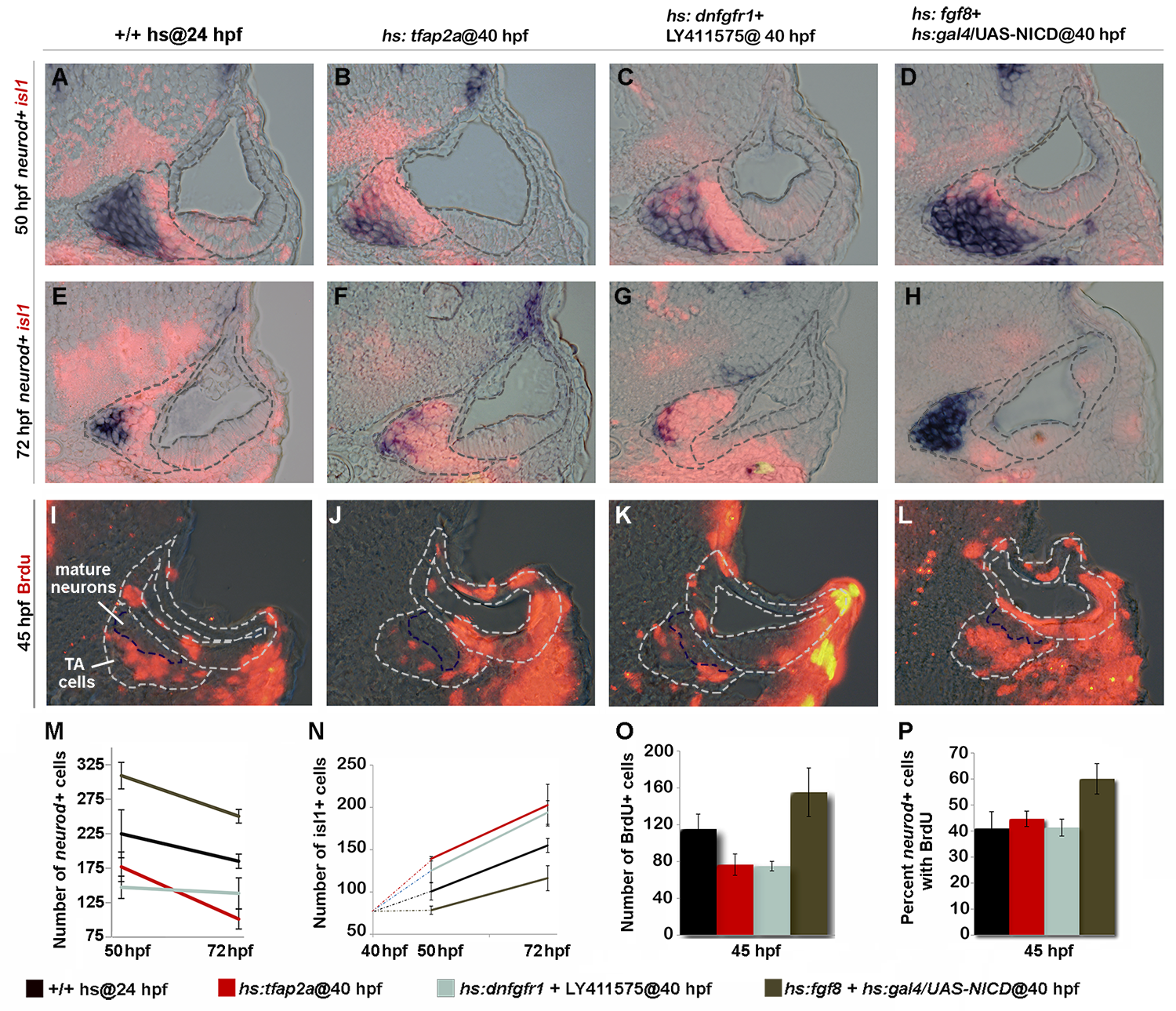 Tfap2a regulates development of TA cells independent of earlier stages.
