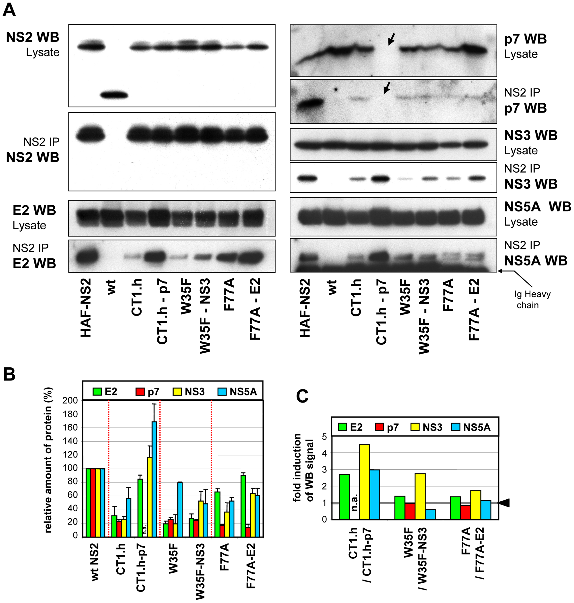 NS2 mutations and pseudoreversions and their impact on NS2 interaction with other viral proteins.