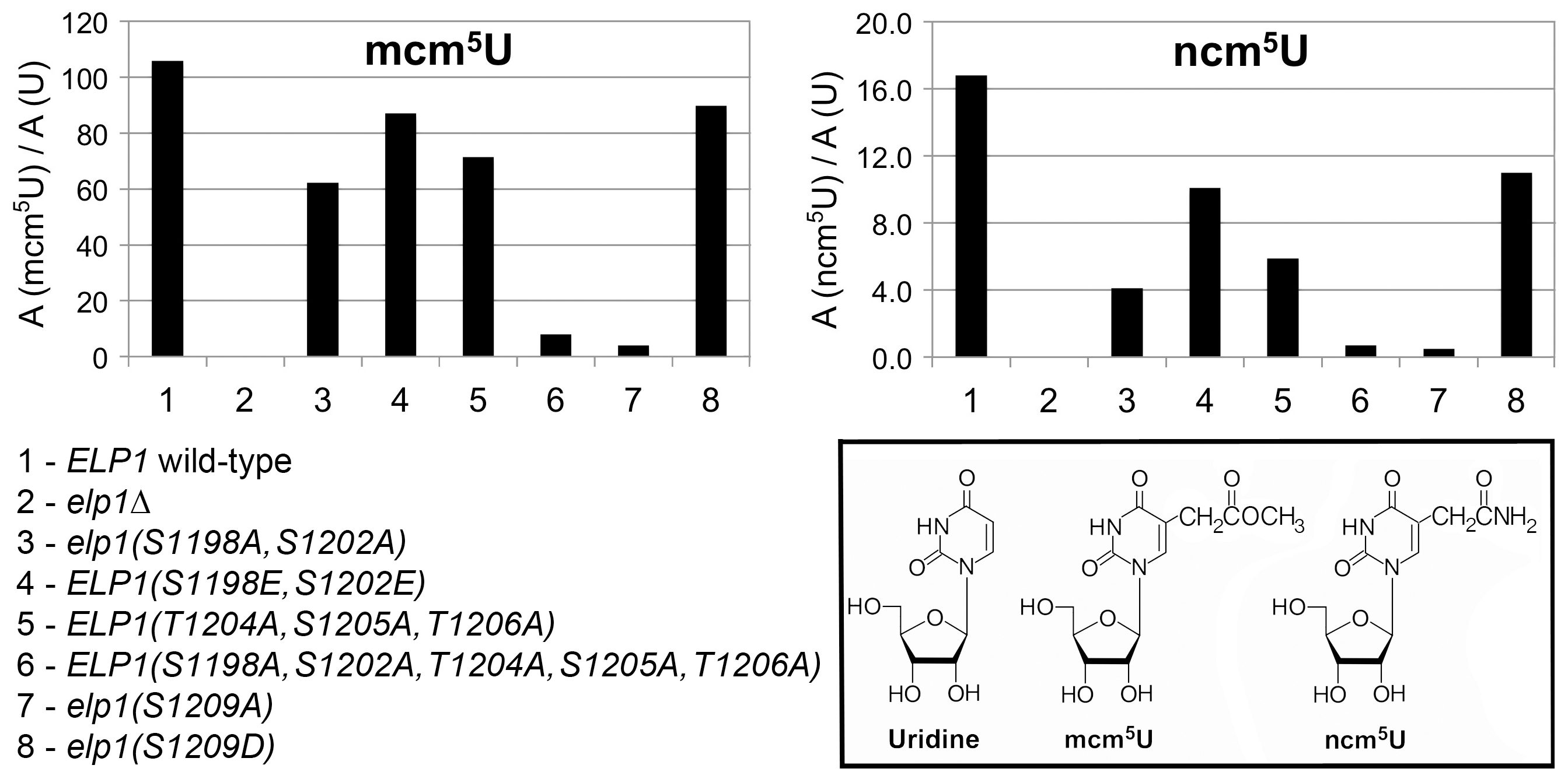 Quantitation of modified U34 nucleosides in tRNA from selected <i>elp1</i> mutants.