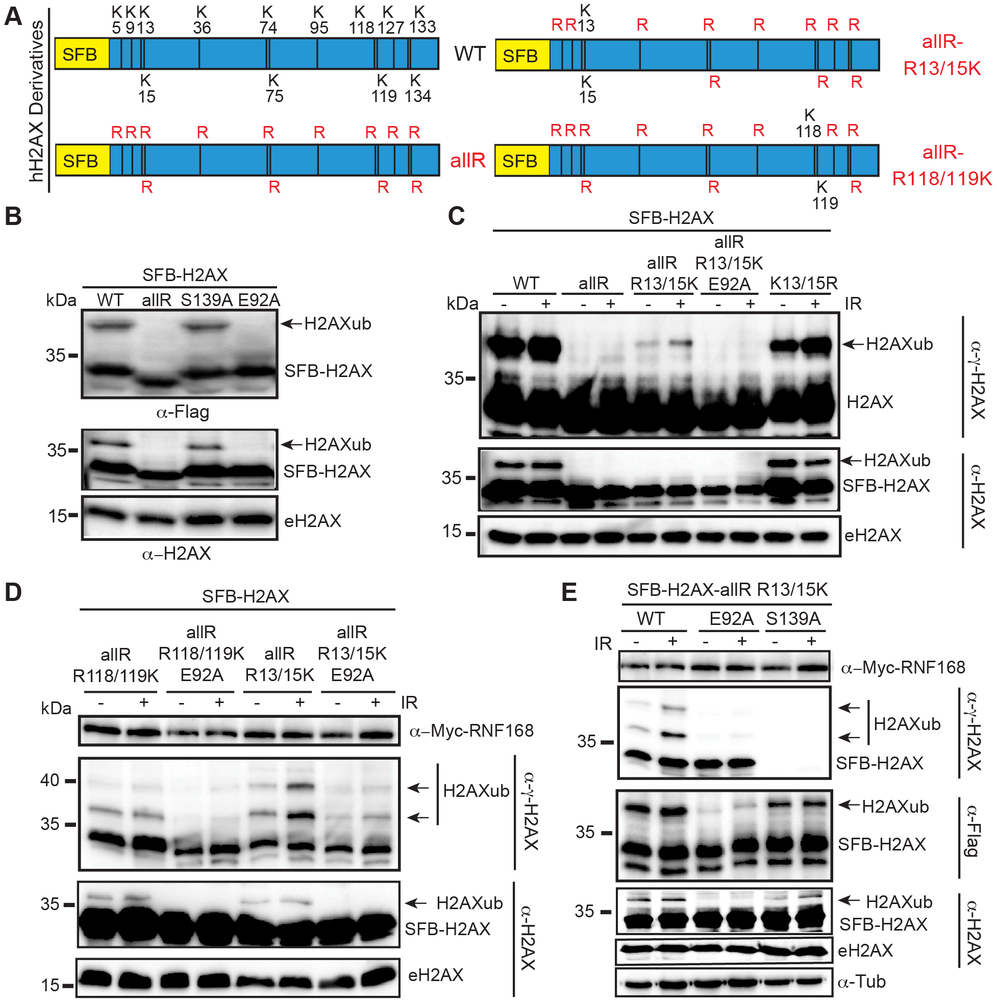 Mutation of the acidic patch impairs human H2AX and H2A ubiquitination.