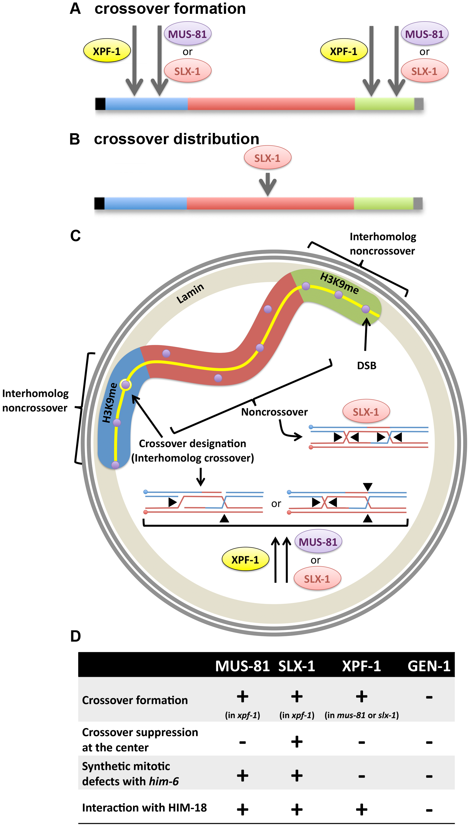 Interplay between structure-specific endonucleases for crossover control.