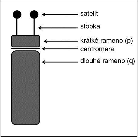 Schéma stavby akrocentrického chromozomu