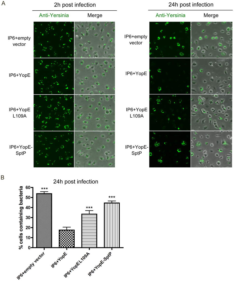 Survival of different <i>Y. pseudotuberculosis</i> strains in macrophages as determined by fluorescence microscopy.