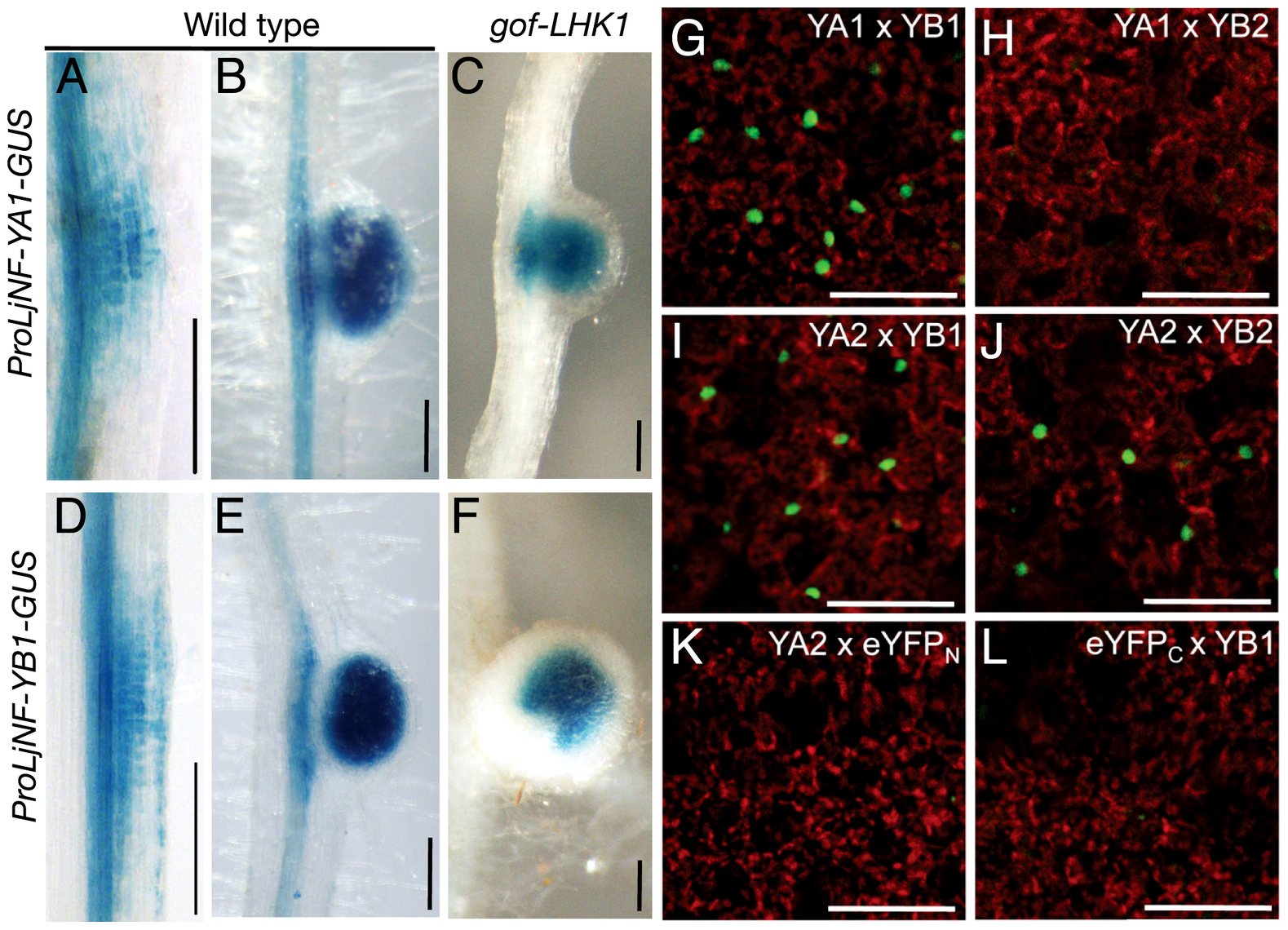 Spatial expression patterns of <i>LjNF-YA1</i> and <i>LjNF-YB1</i> during root nodule organogenesis and their protein interactions <i>in planta</i>.