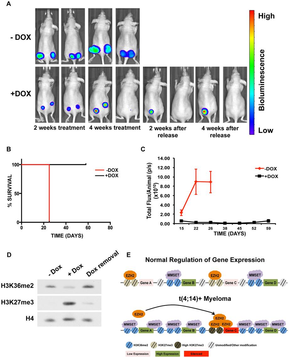 Targeting MMSET in t(4;14)+ tumors prolongs survival.