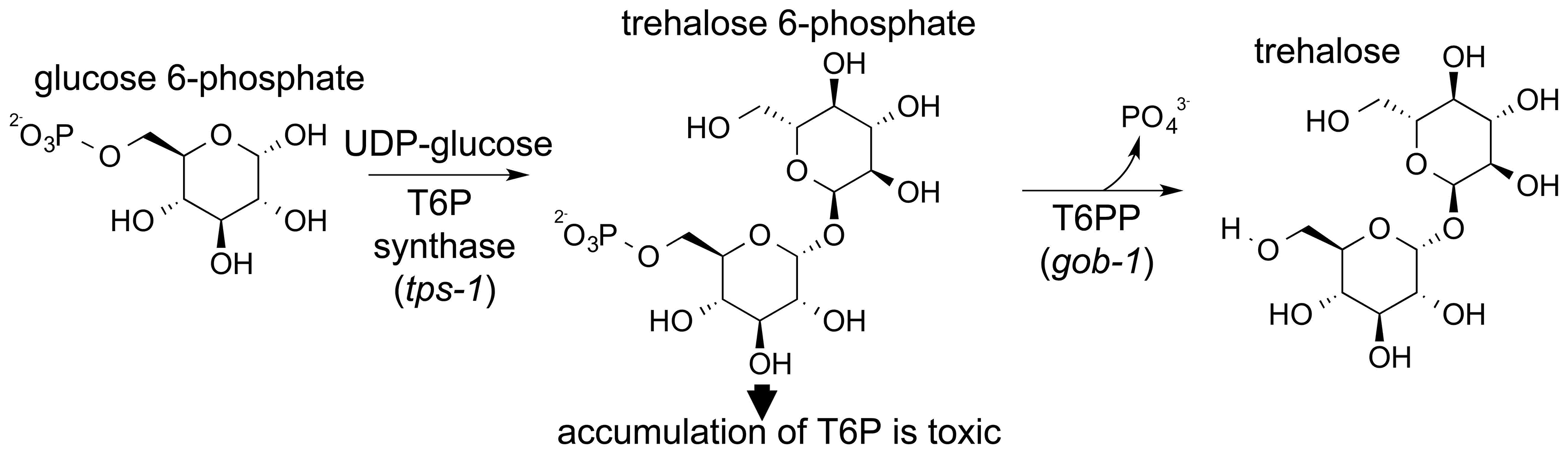 Schematic showing the two-step synthesis of trehalose.