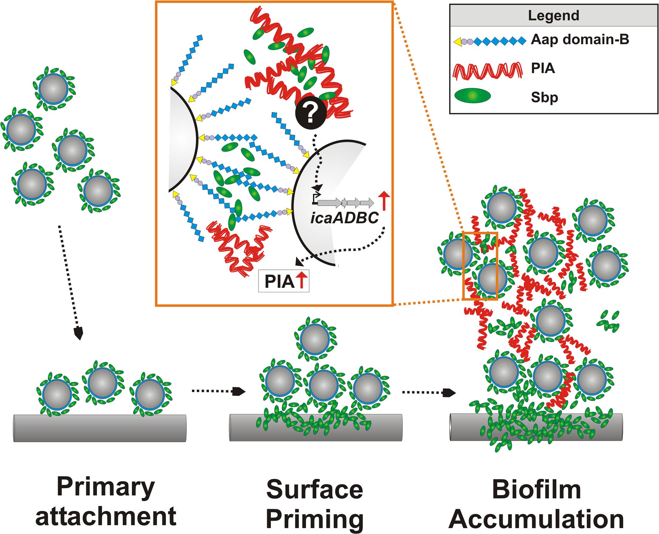 Integrated model of Sbp functions in <i>S</i>. <i>epidermidis</i> biofilm formation.