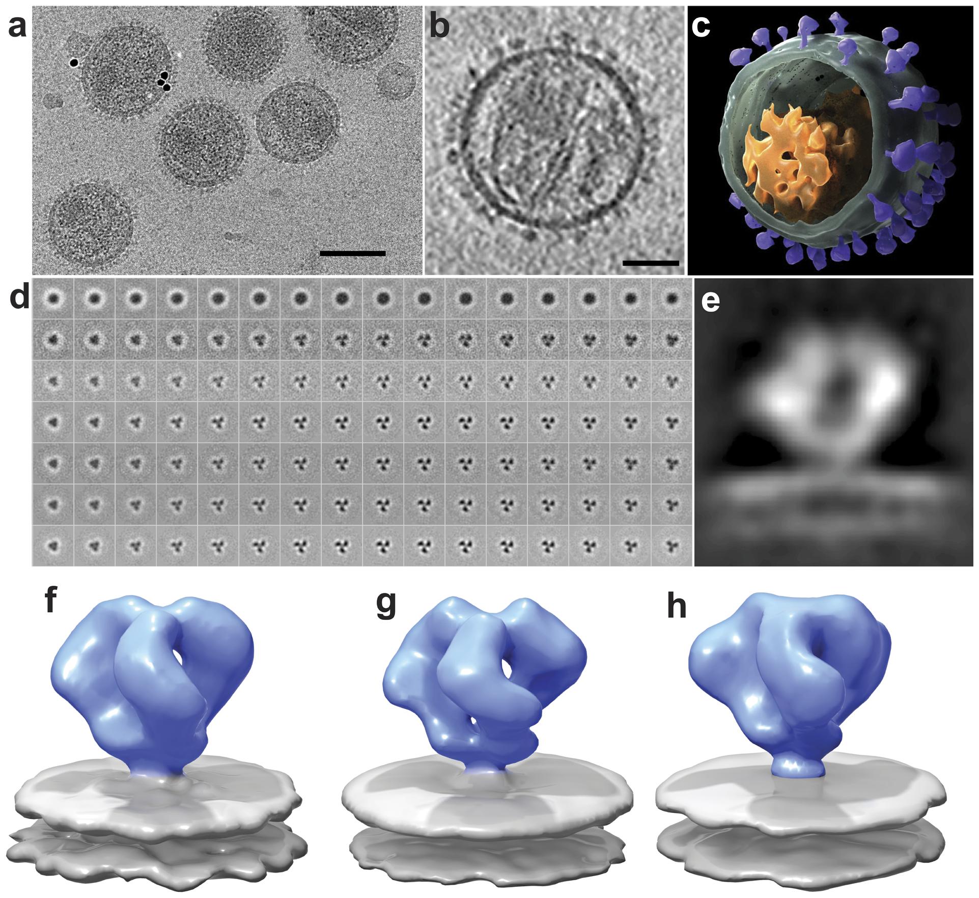 Cryo-electron tomography and molecular architecture of trimeric SIV Env.
