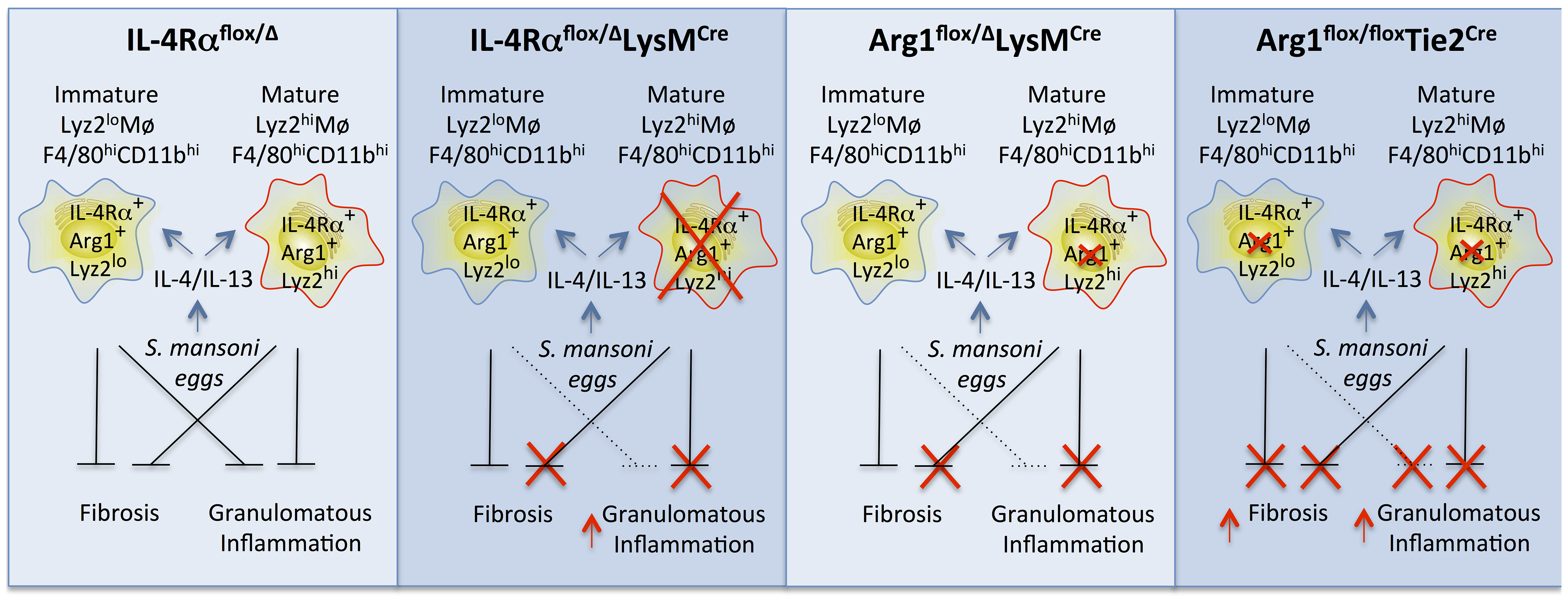 Distinct populations of alternatively activated macrophages control inflammation and fibrosis.