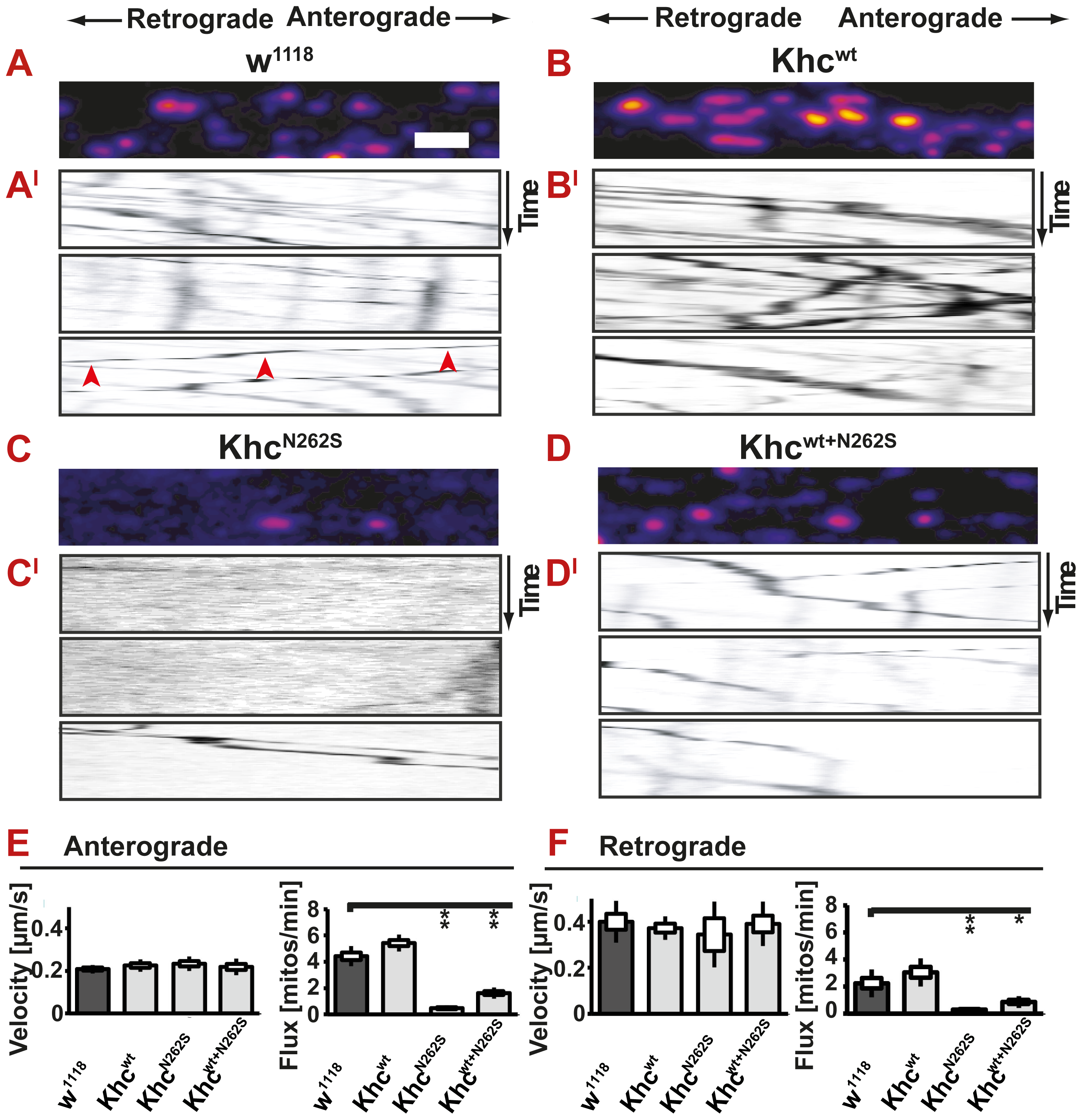 <i>In vivo</i> analysis of axonal transport.