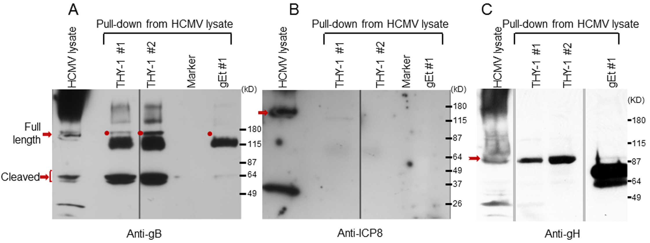 HCMV gB and gH, but not ICP8, obtained from infected cell lysates binds to a THY-1 protein column.