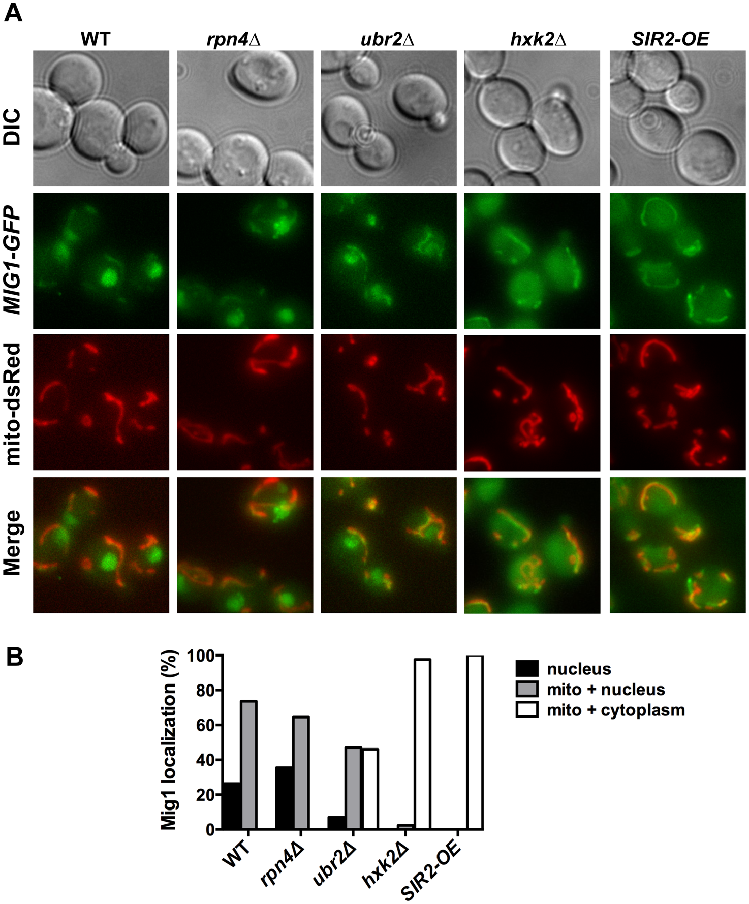 Mig1 co-localizes with the mitochondria in cells with increased proteasome abundance, in the absence of <i>HXK2</i> and upon overexpression of <i>SIR2</i>.