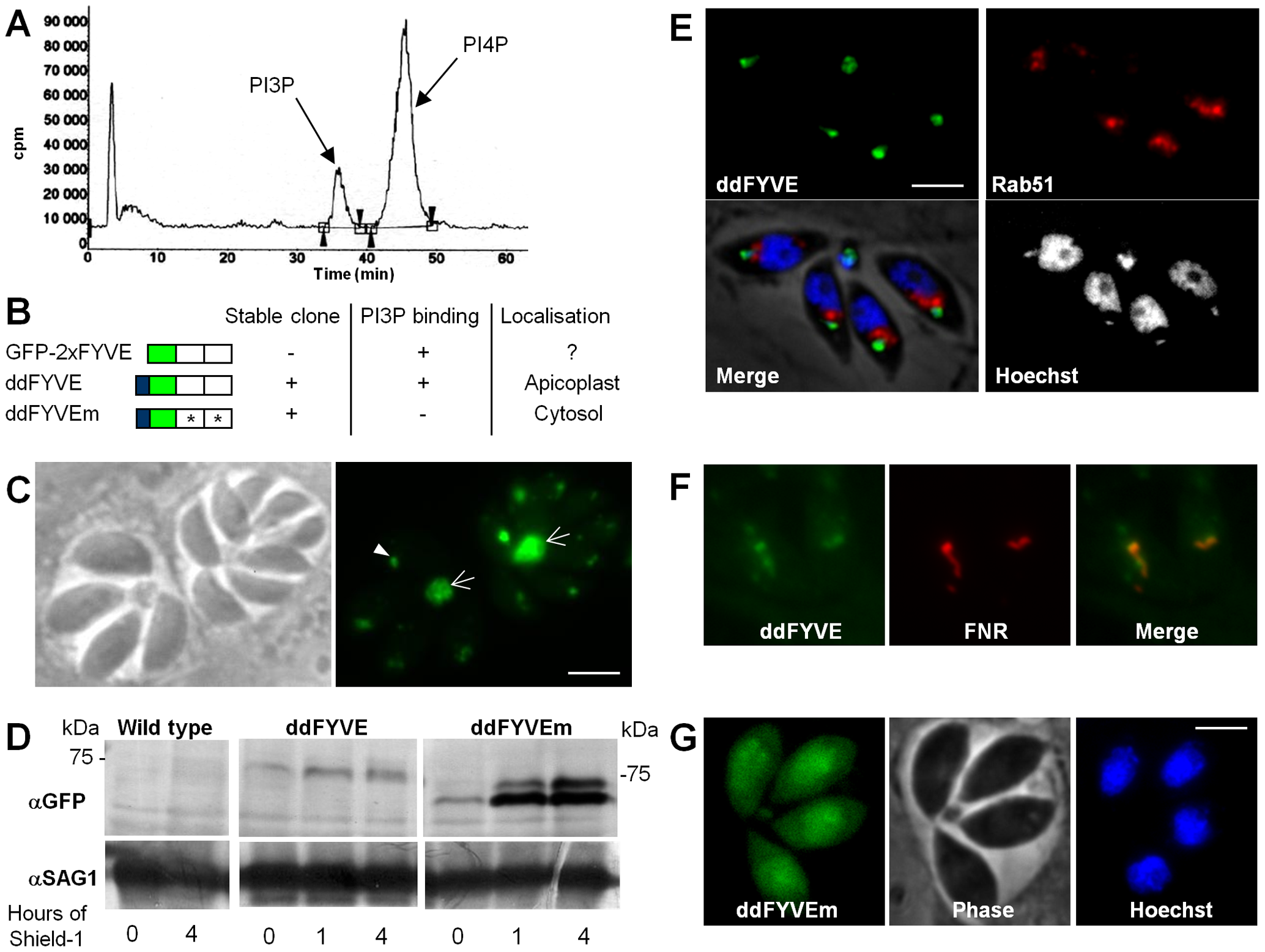 Expression and localization of PI3P in <i>T. gondii</i>.